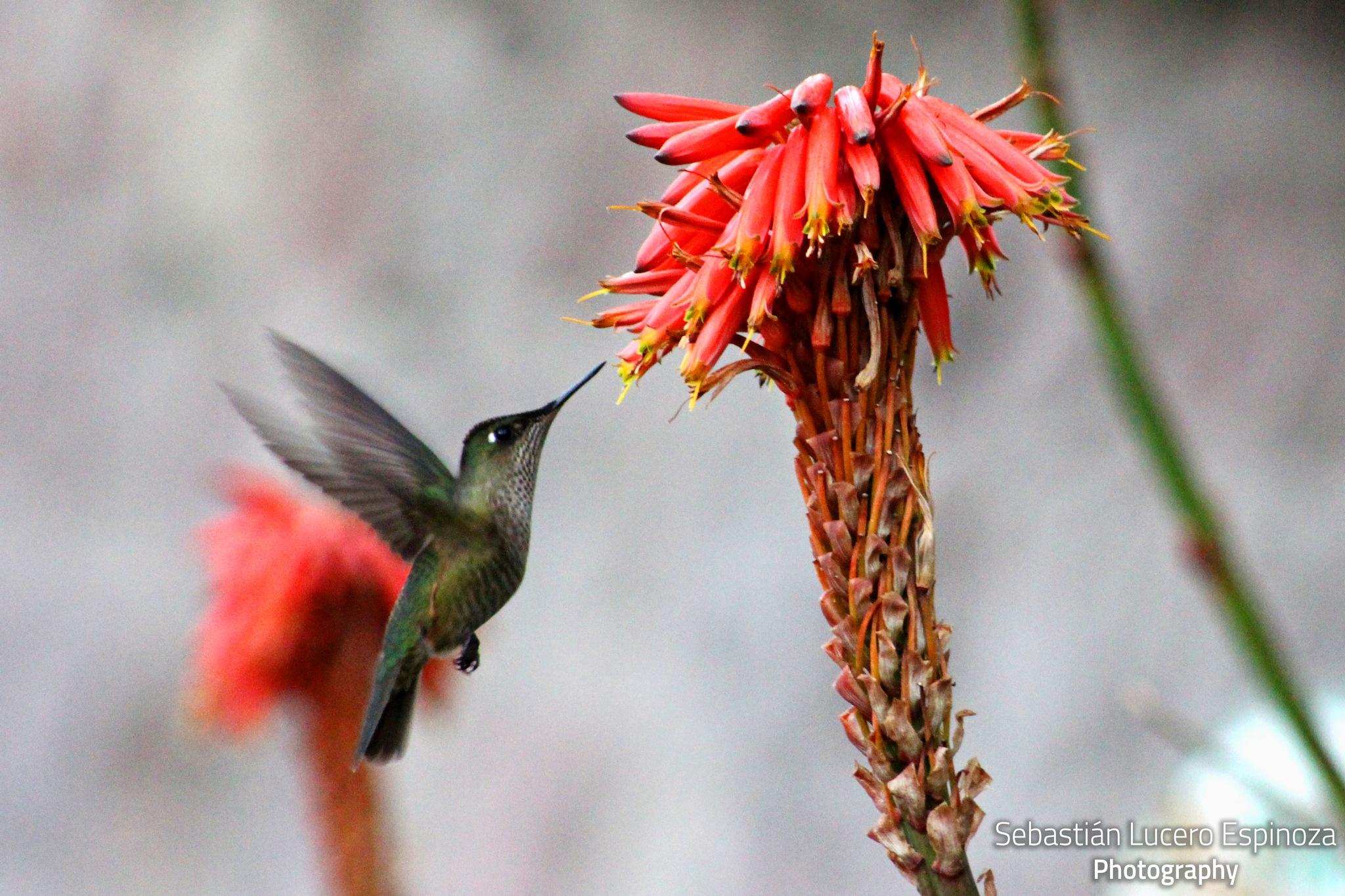 Colibri by Sebastian Lucero