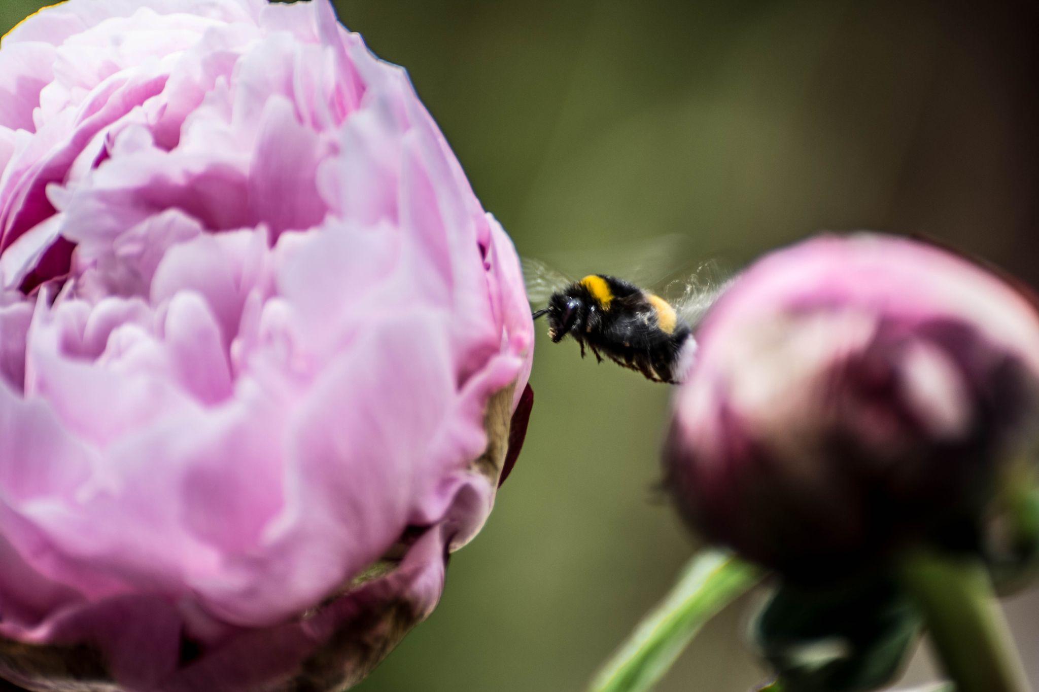 pioenroos3 with da bee by Kees van Es