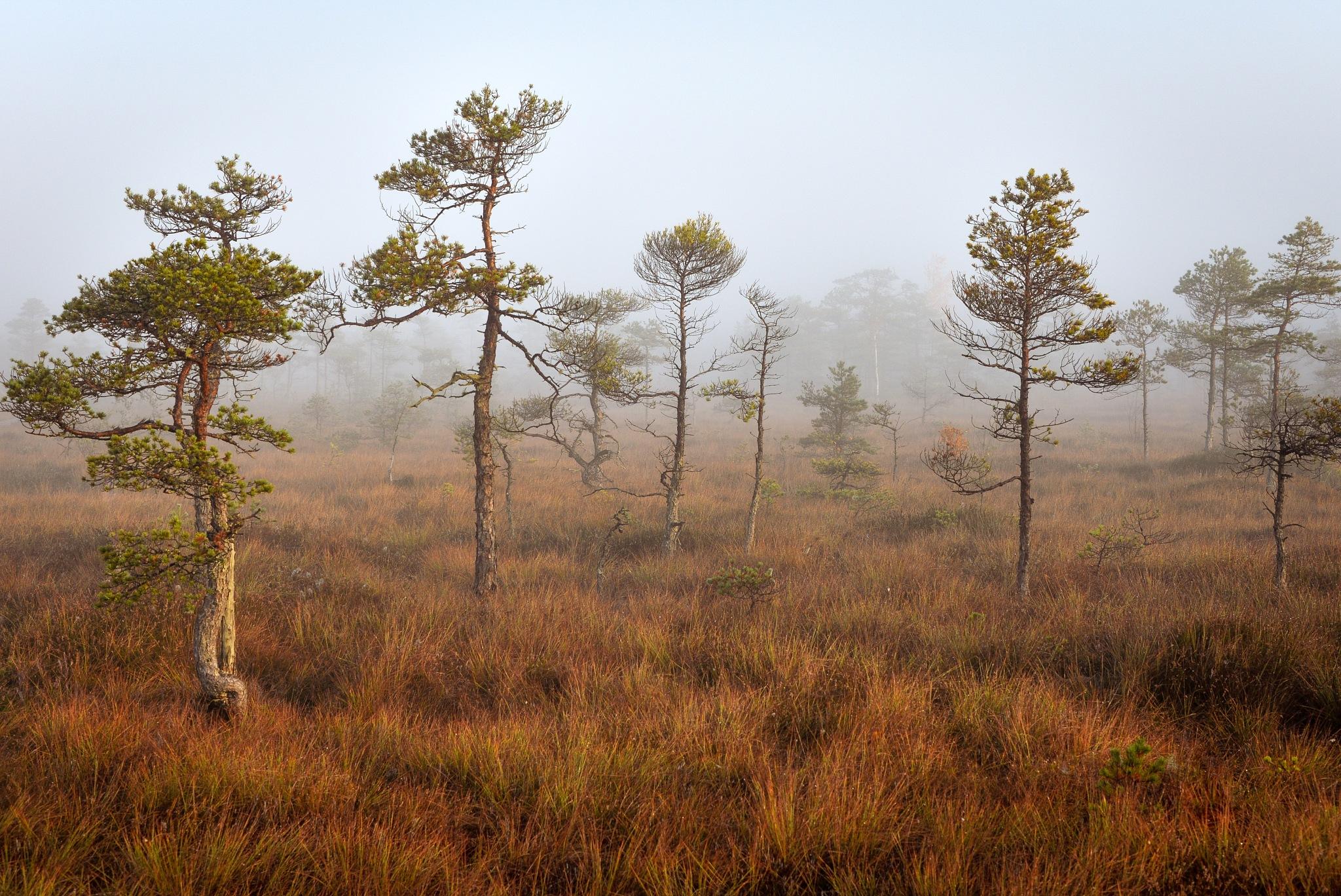 Photo in Landscape #latvia #fall #morning #bog #kemeribog #fog #raisedbog