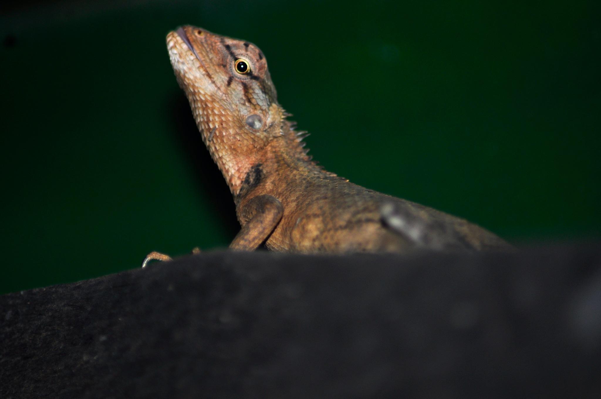 Peeking Chameleon by Vasanth