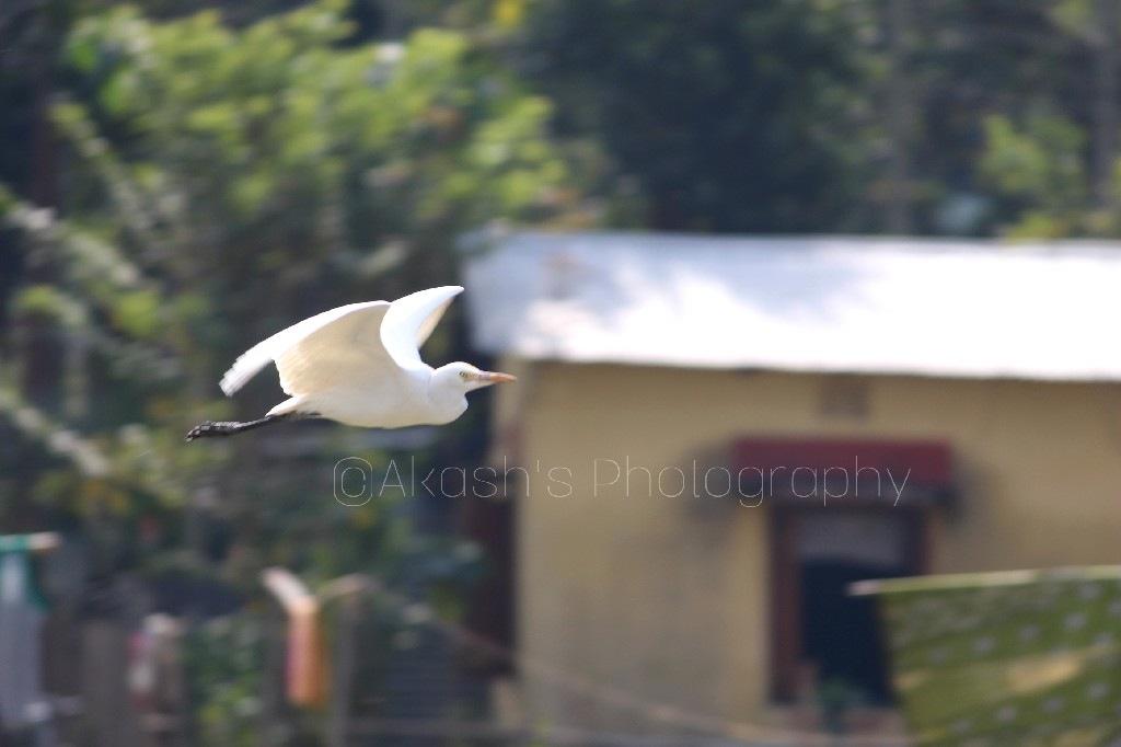 Common Egret  by Akash Choudhury
