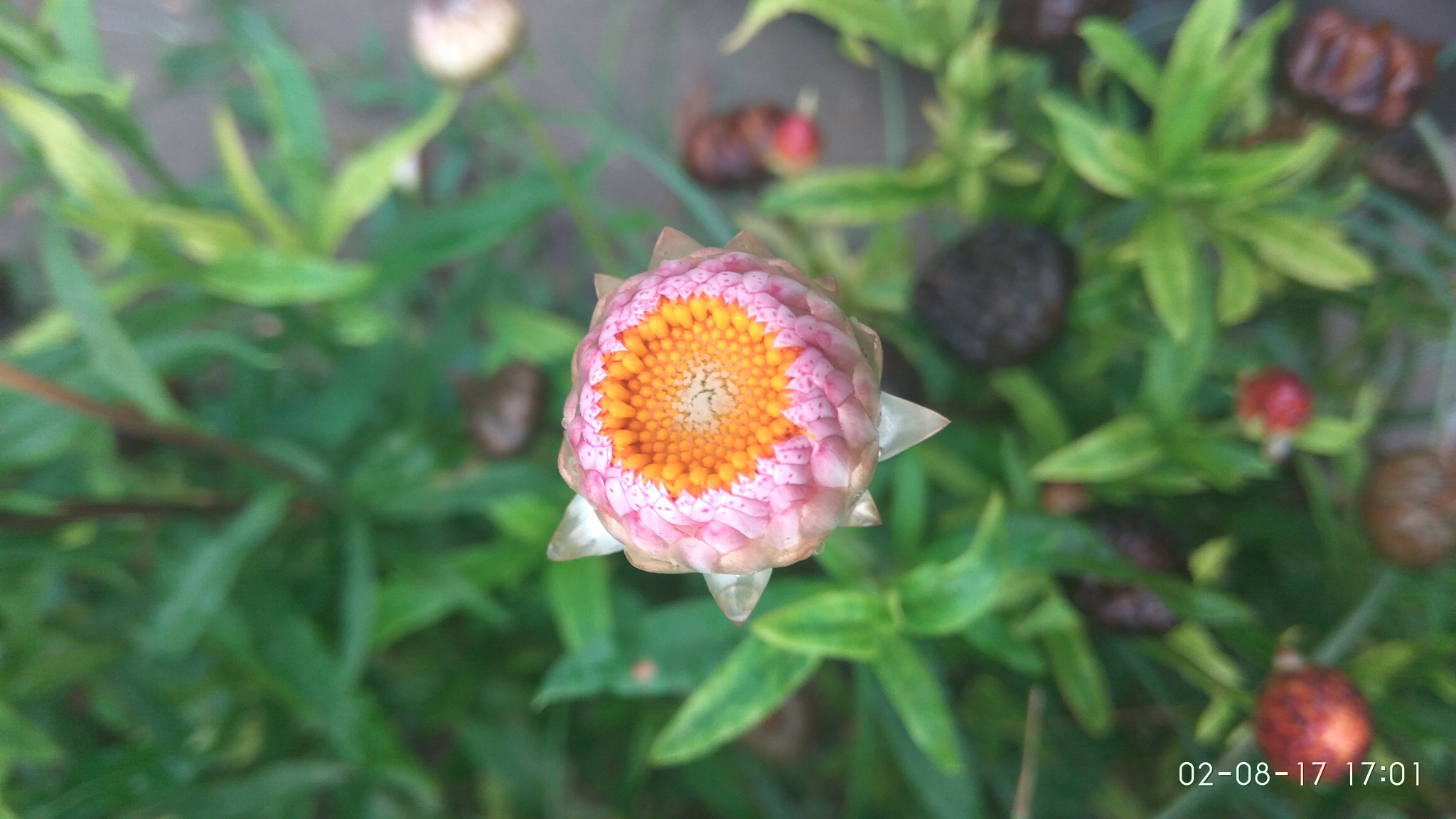 flower in my garden by suhail aslam bazaz