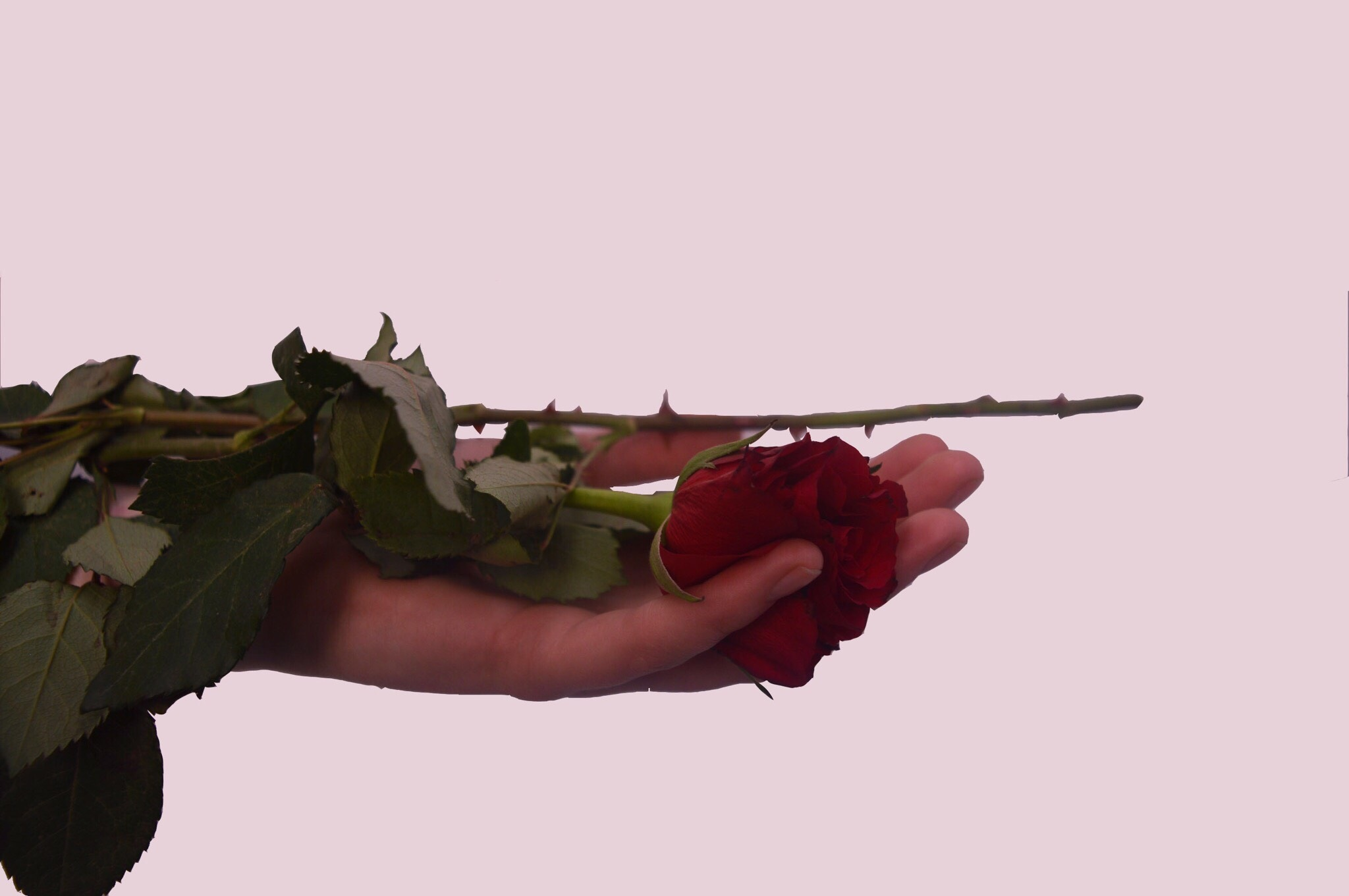rose thorn project by laurenmason1502
