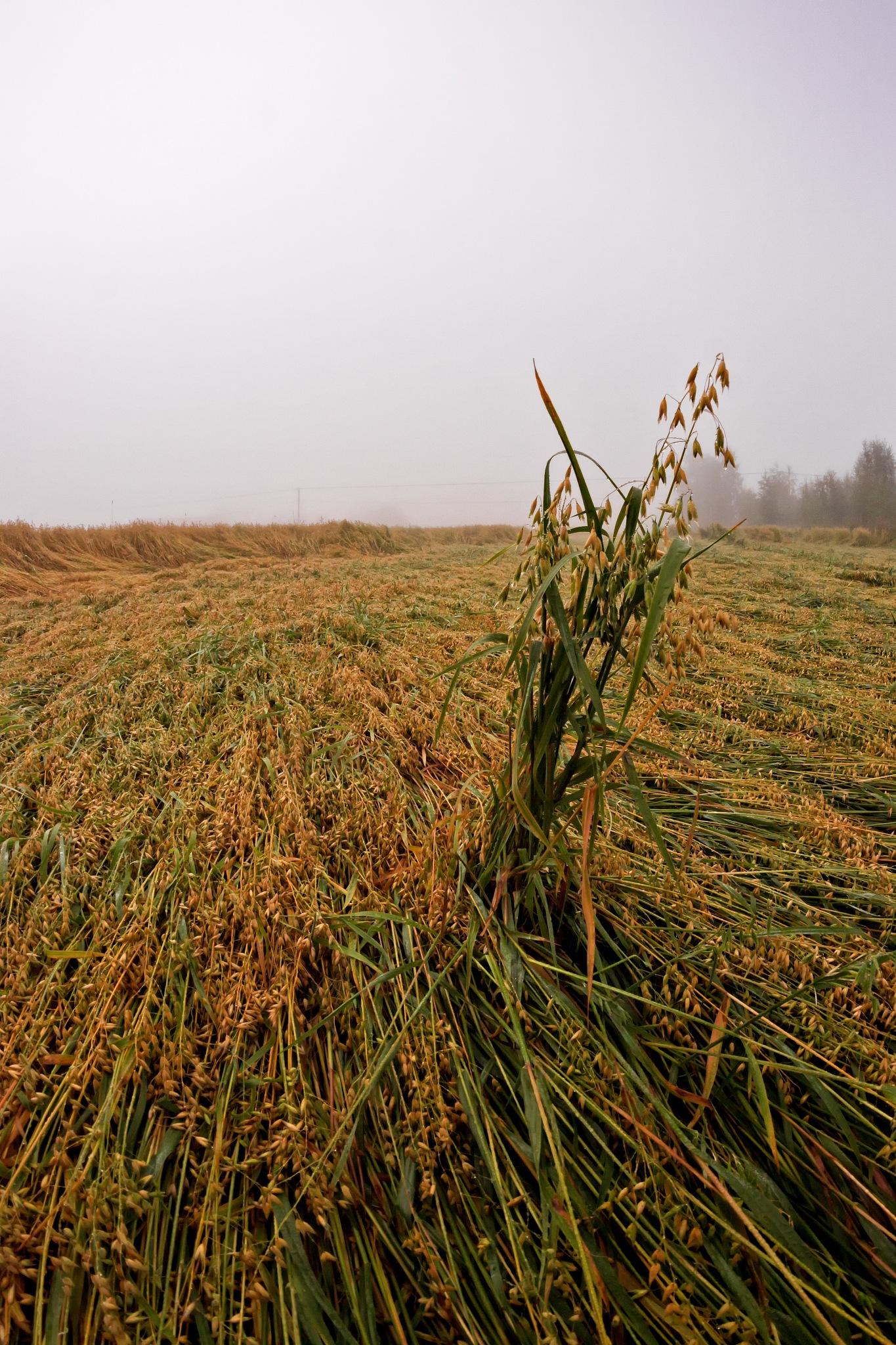 Lodged Oat On The Field by J.P. Heinovirta