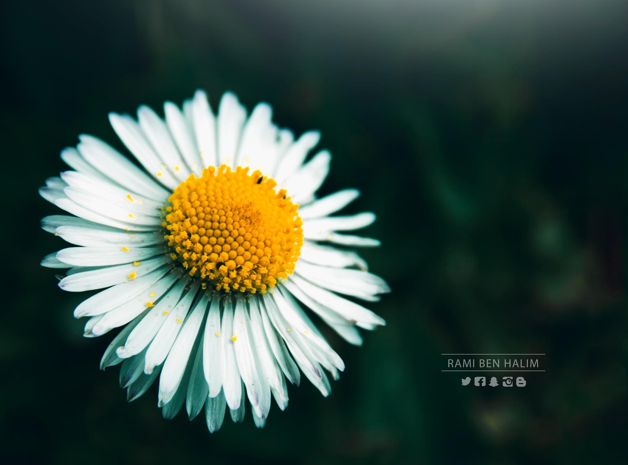 Chamomile Flower by Rami Ben Halim