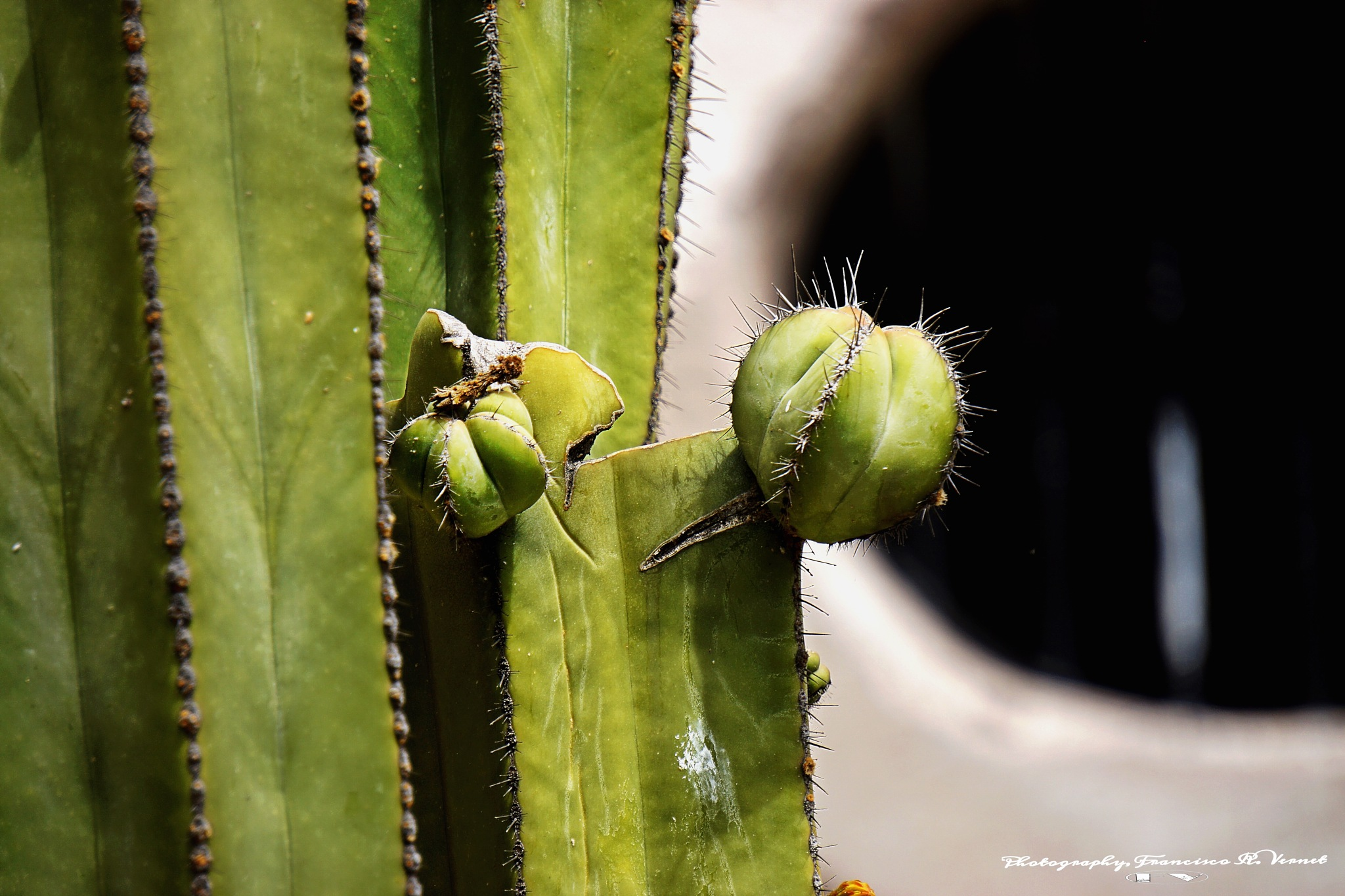 Cacti...  by Francisco-Vernet