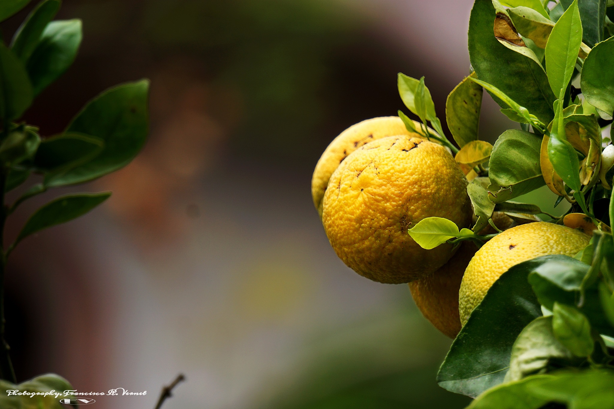 Orange... tree by Francisco-Vernet