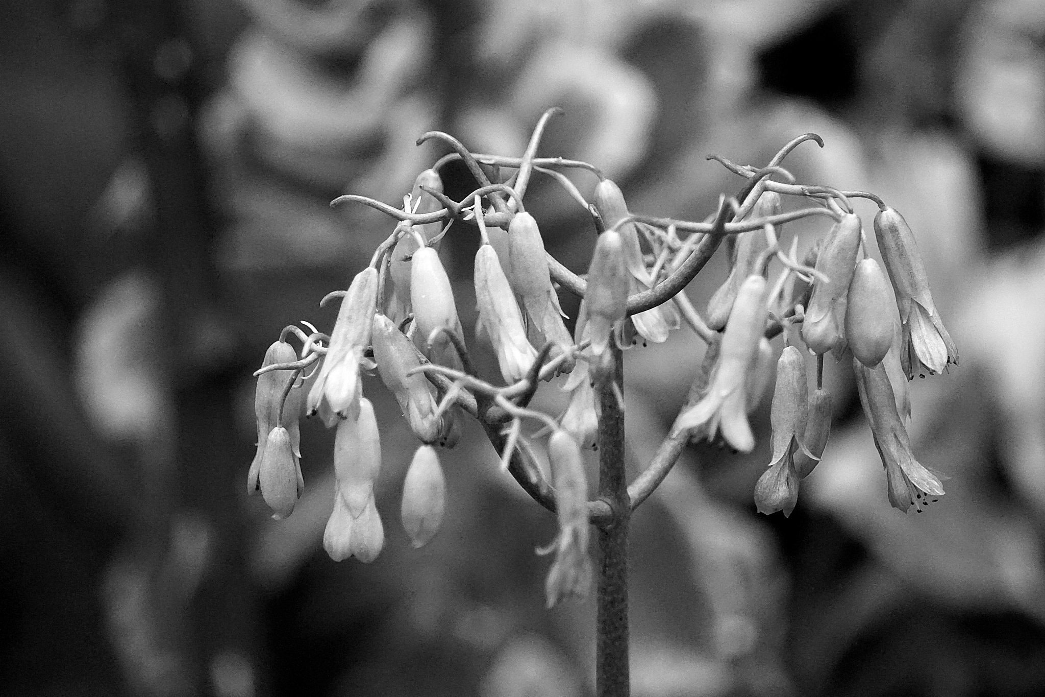 kalanchoe... b&w by Francisco-Vernet