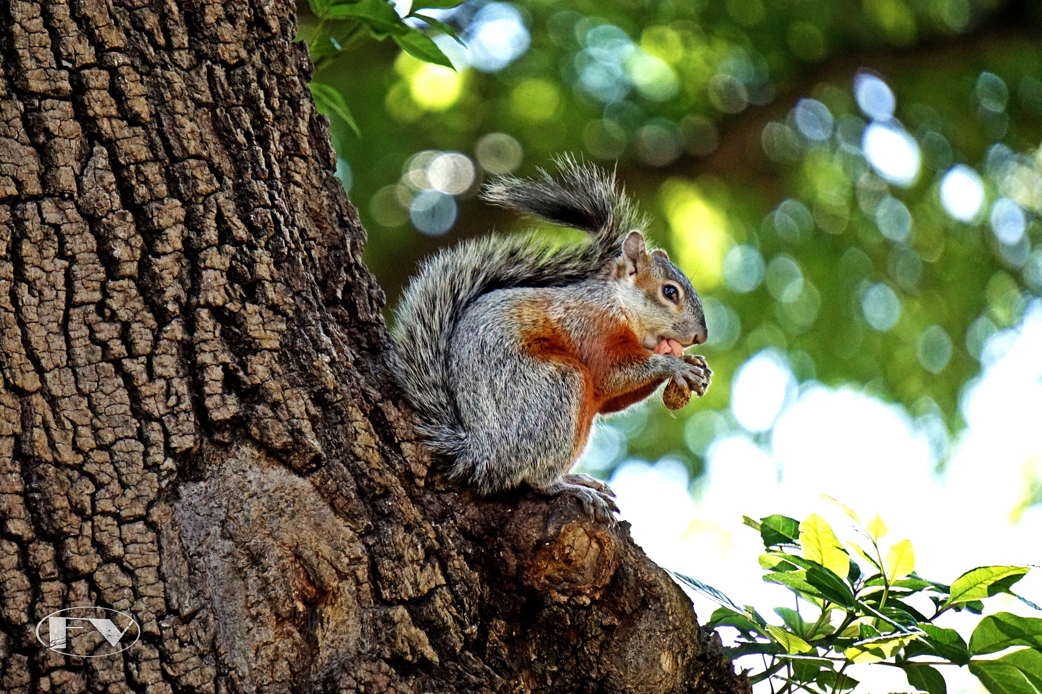 Otto... the friendly squirrel by Francisco-Vernet