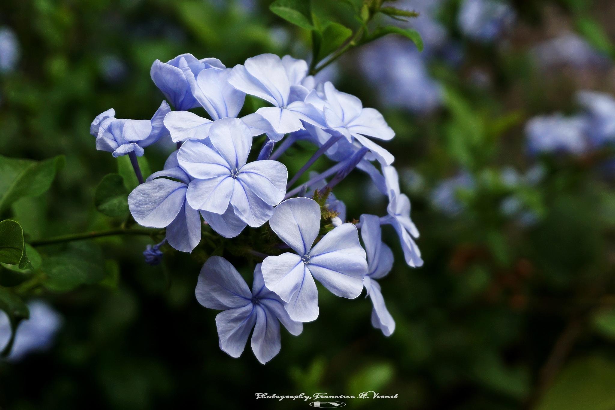 Violets... by Francisco-Vernet