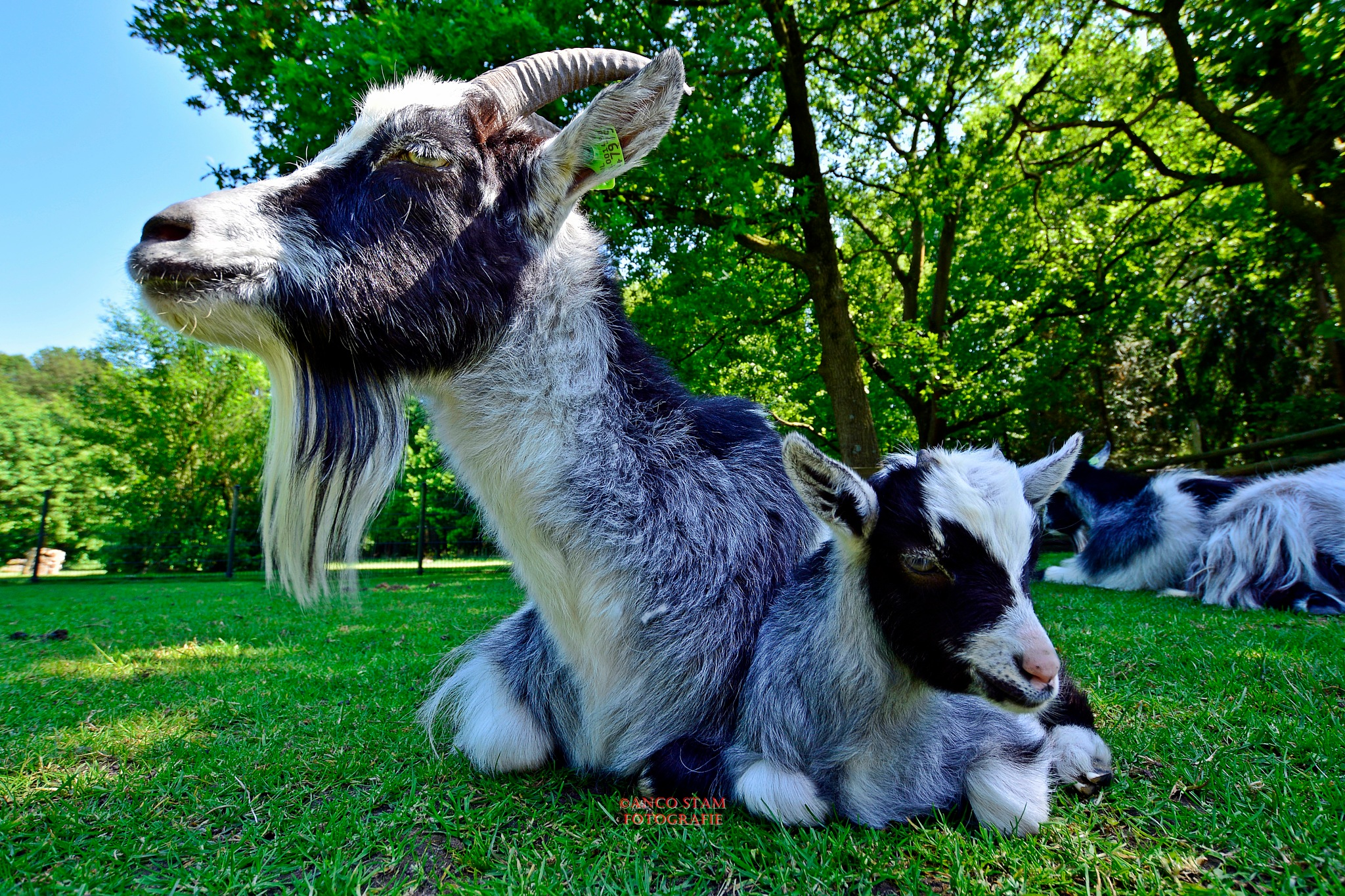 goat models by Anco Stam