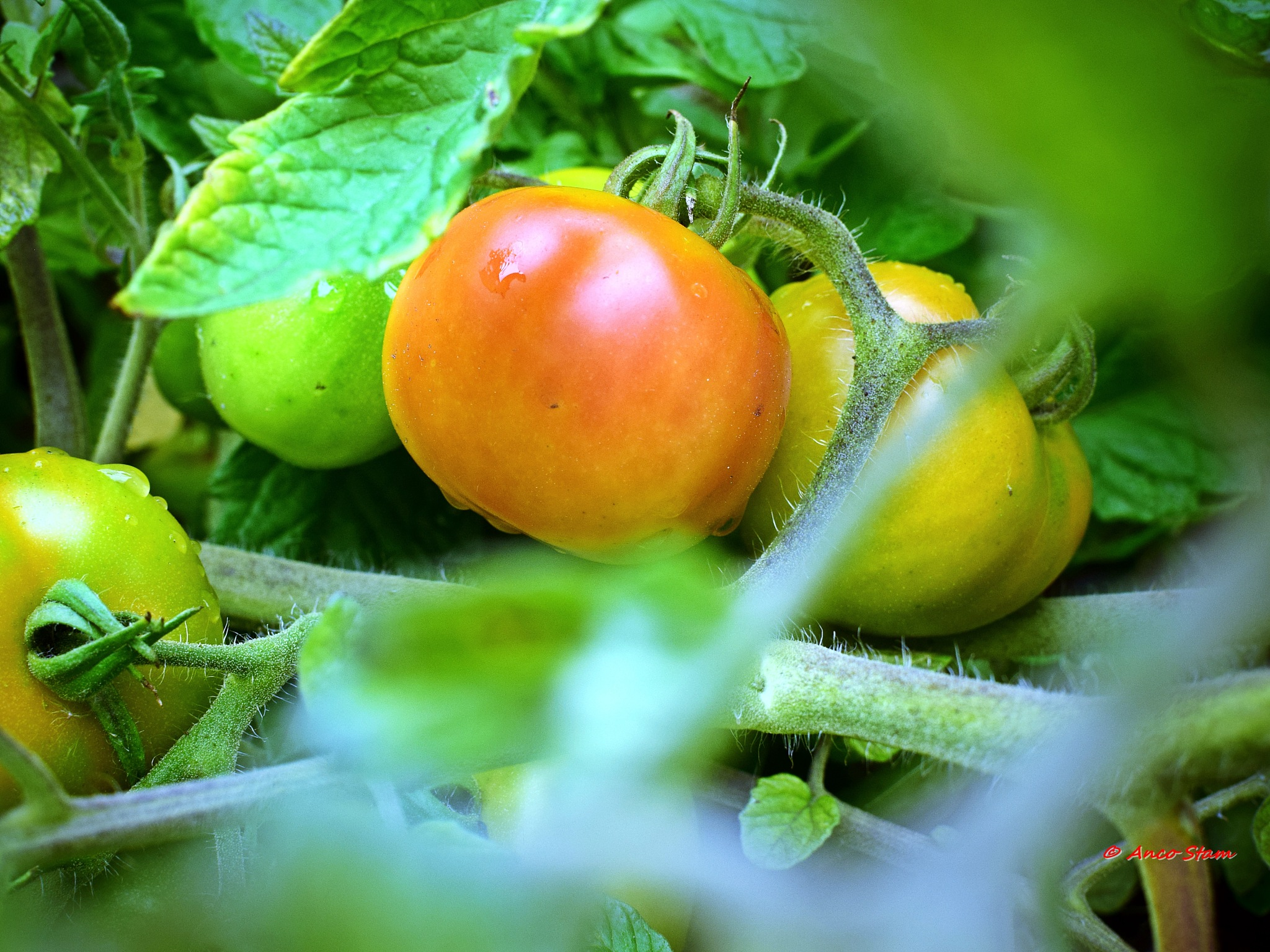 a slight blushing tomato..... by Anco Stam