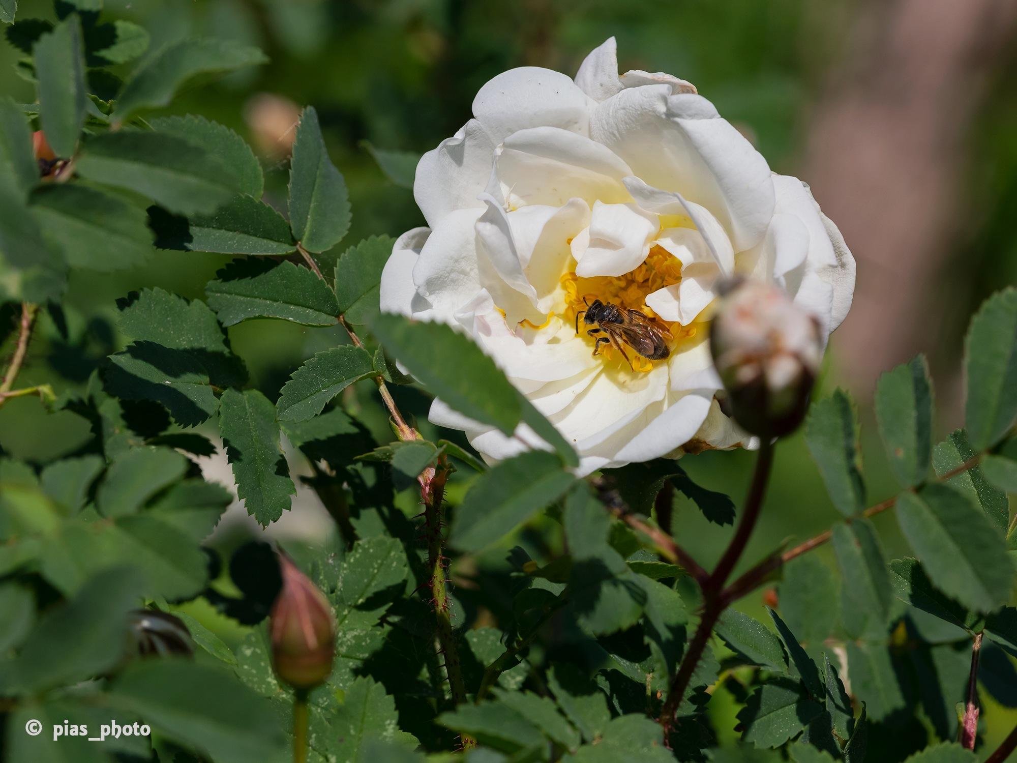 Inte bara jag som älskar rosorna by pias_photo