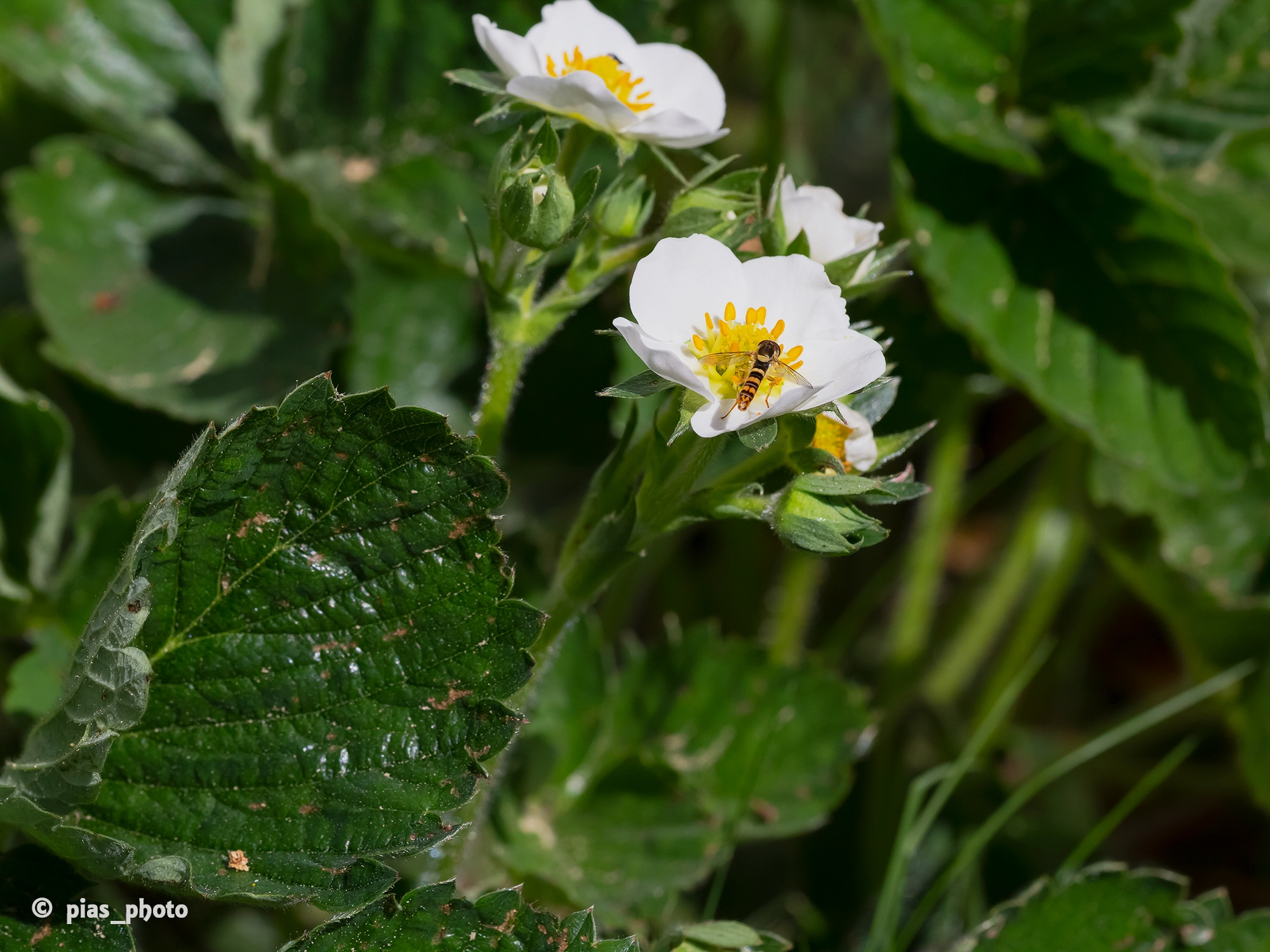 Blomfluga på jordgubbsblom by pias_photo