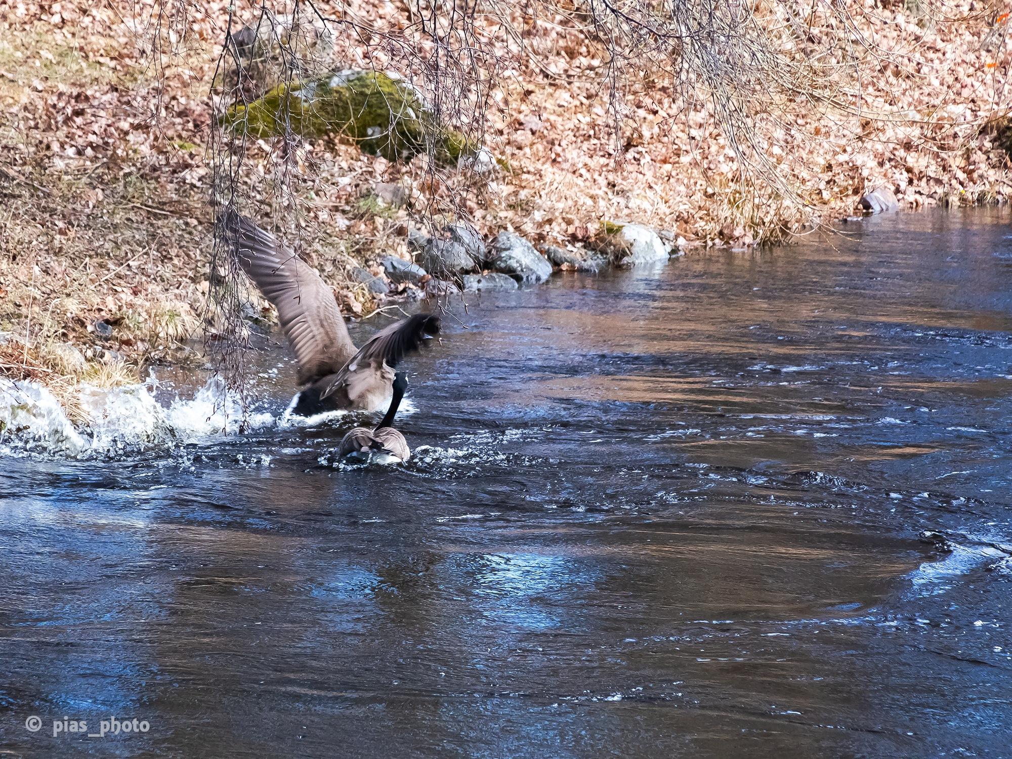 Kanadagäss i Mackmyra by pias_photo
