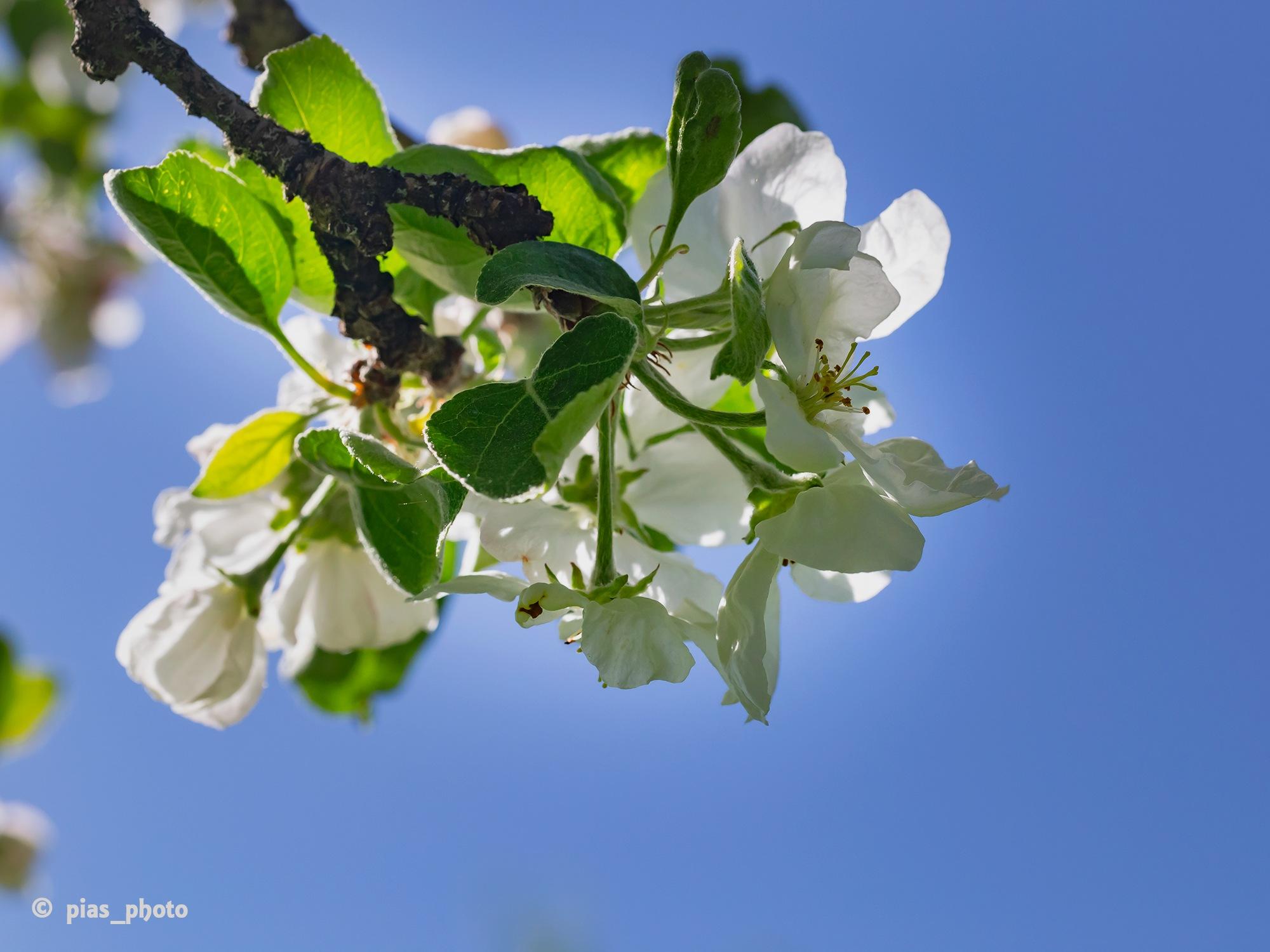 Underbar äppelblom by pias_photo