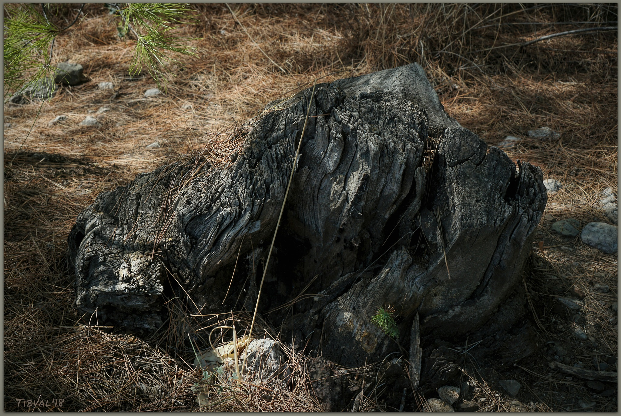 Tree stump by Tibval