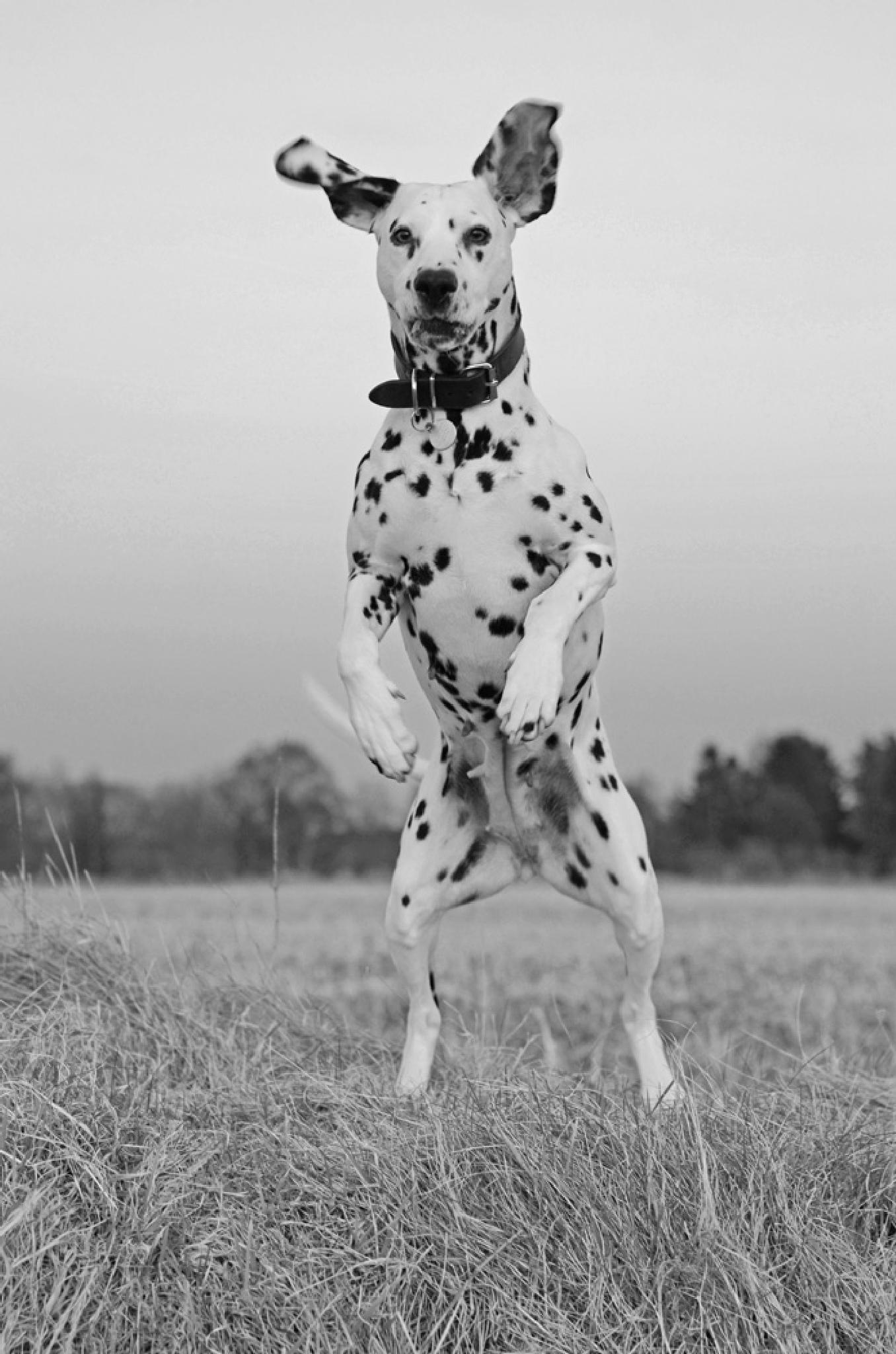 Standing dalmatian by Lizzy