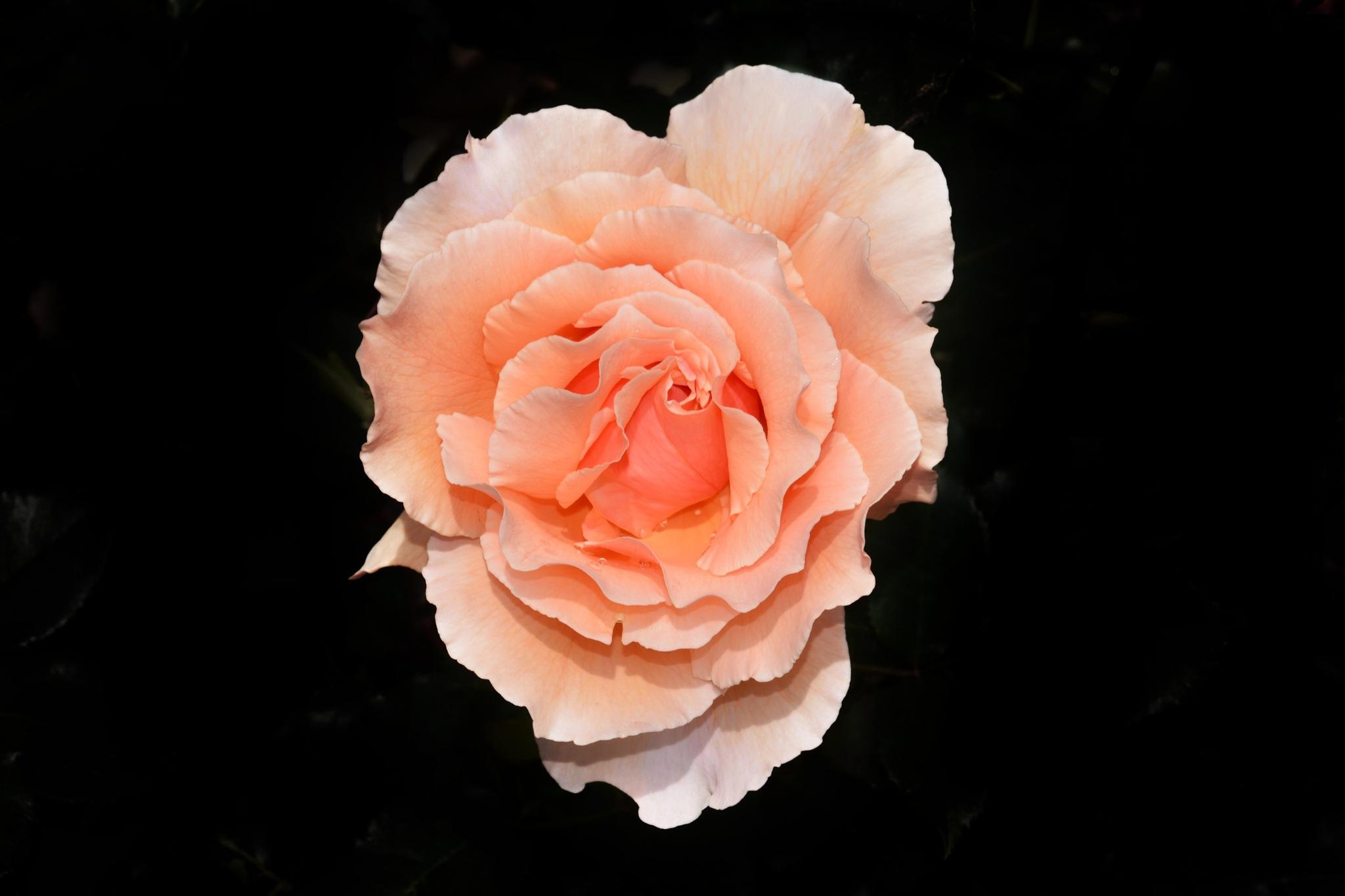 Rose by Sissyjoy