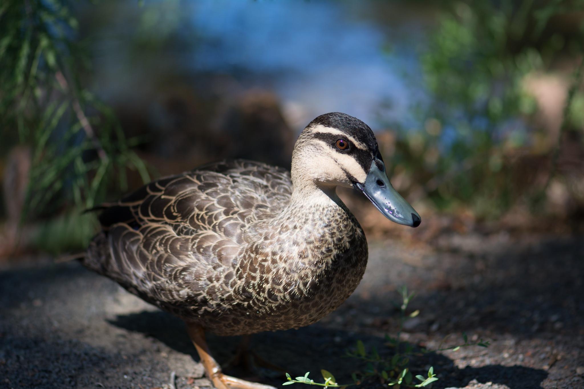 Little Duck by Sissyjoy