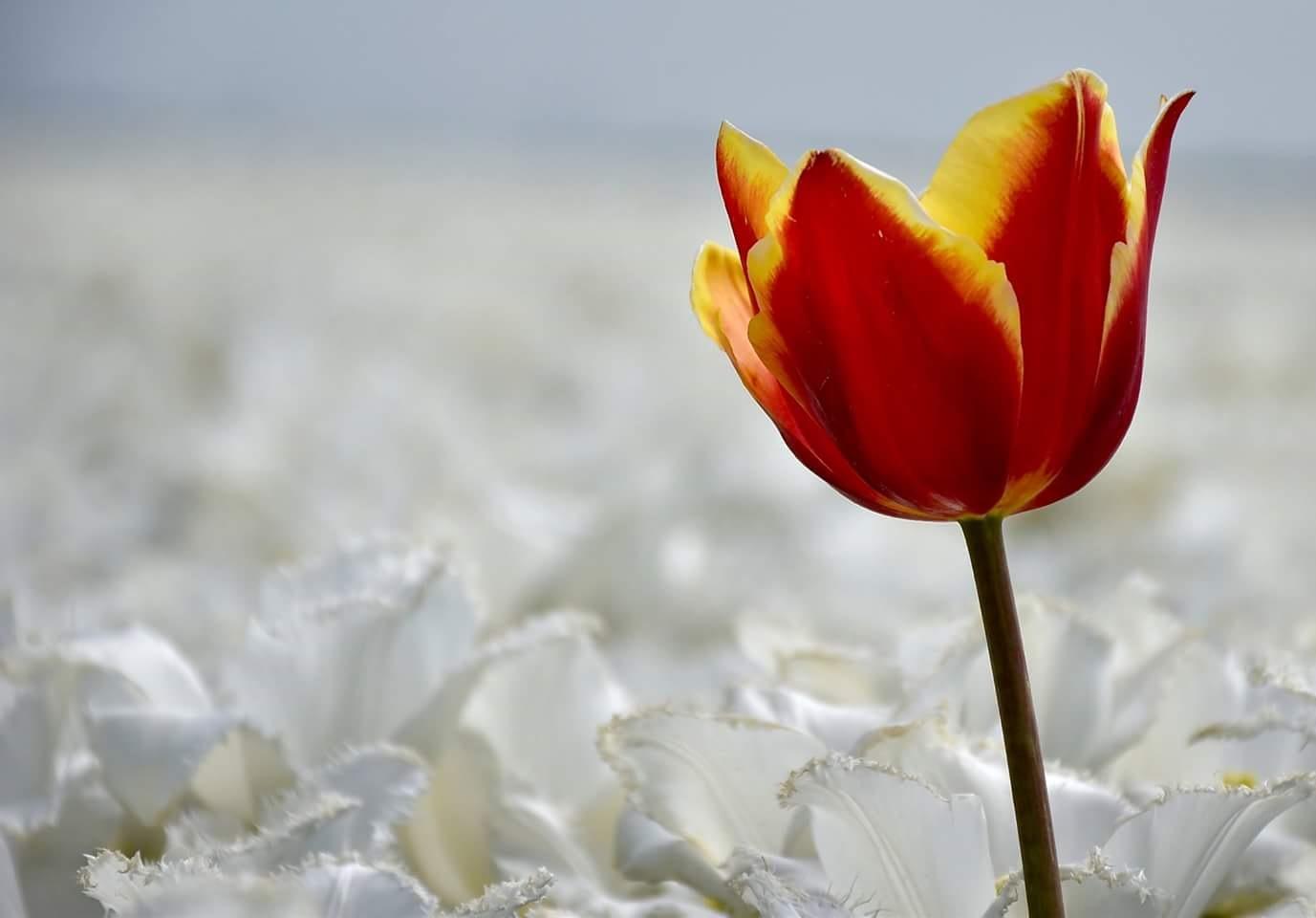 Tulpen. by Jitske Knol
