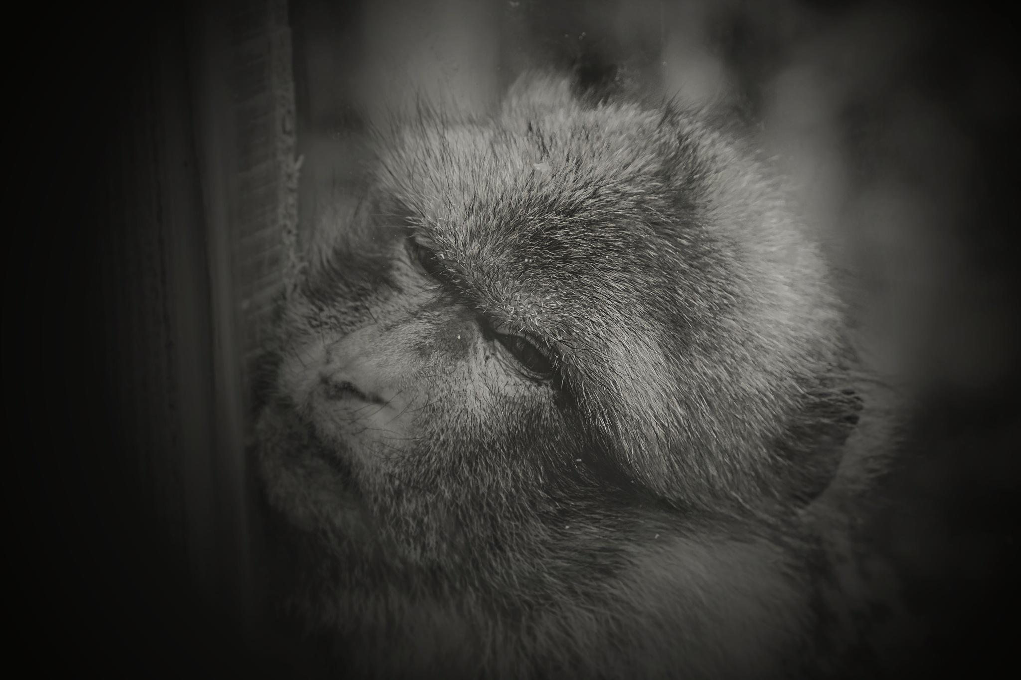 apes mood by Patrick De Baene