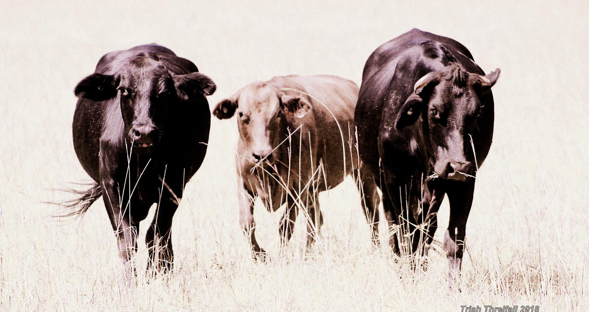 Three Cows by Trish Threlfall