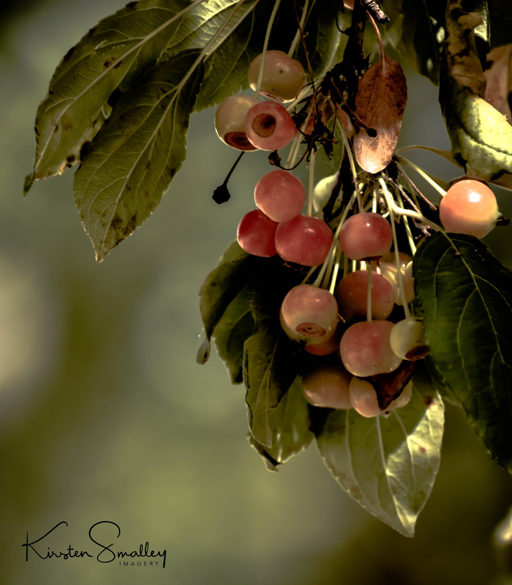 Fall Berries by Kirsten Smalley