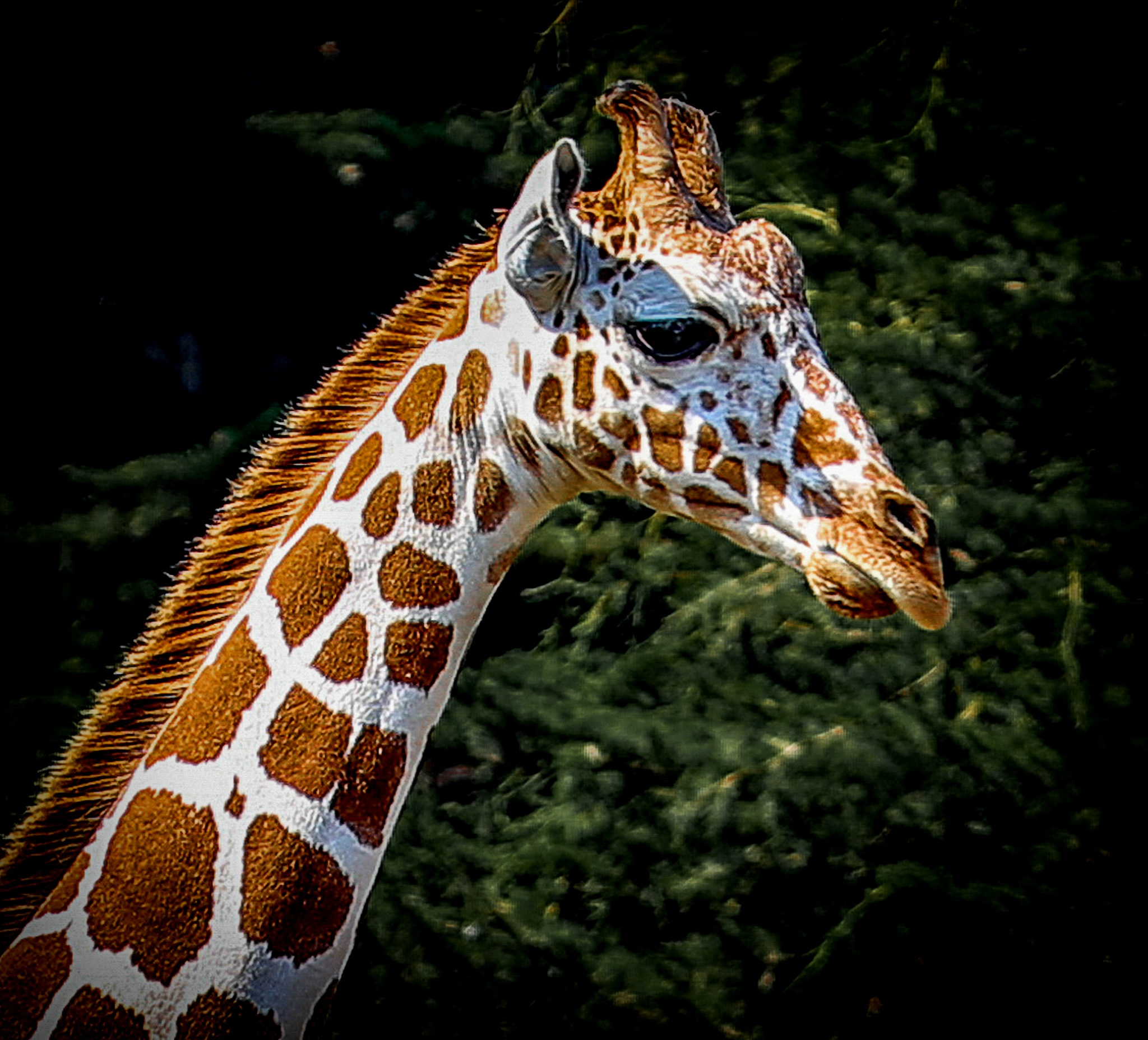 Giraffe  by Krishna Murukutla