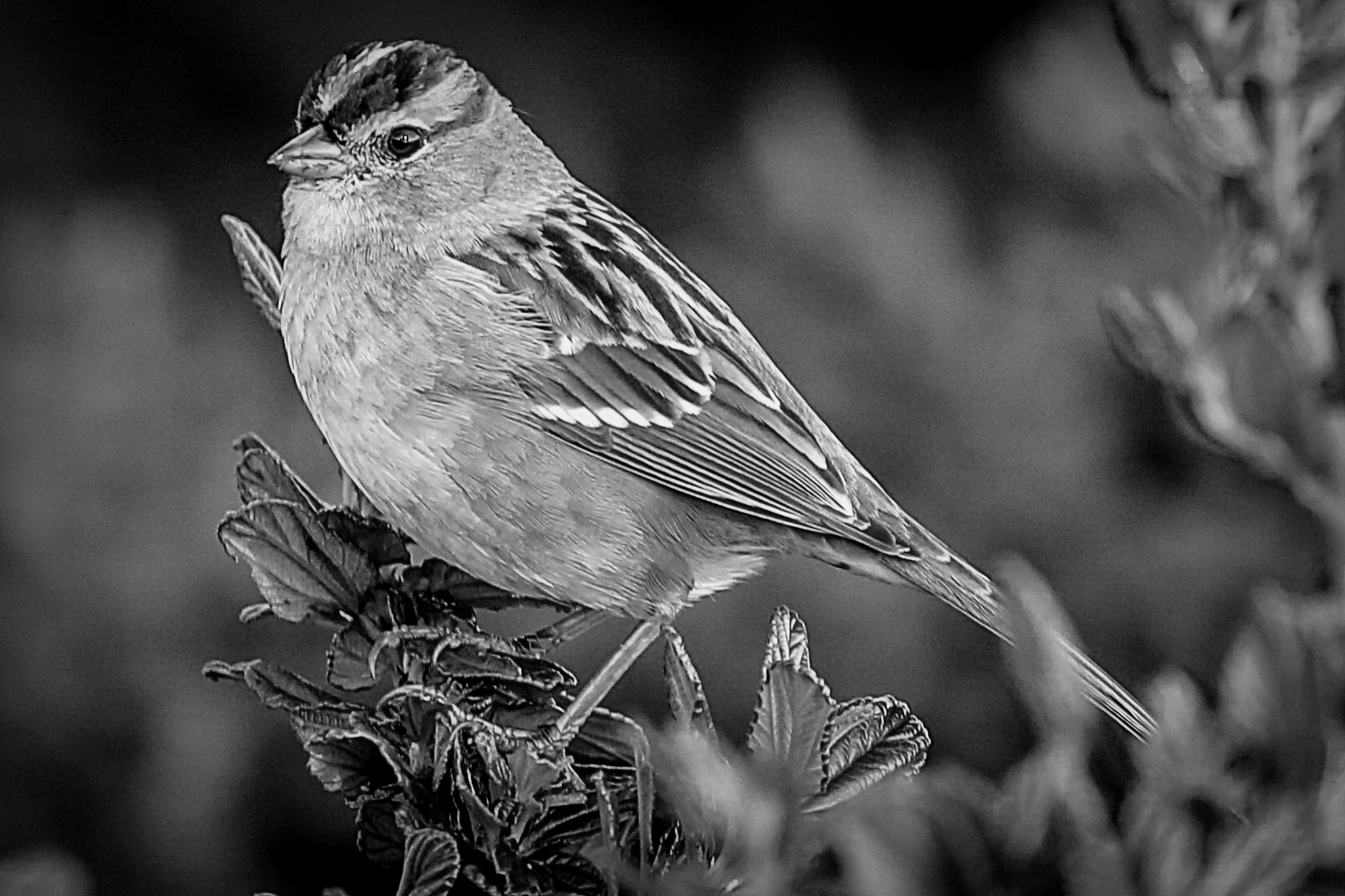 The White-Crowned Sparrow   by Krishna Murukutla