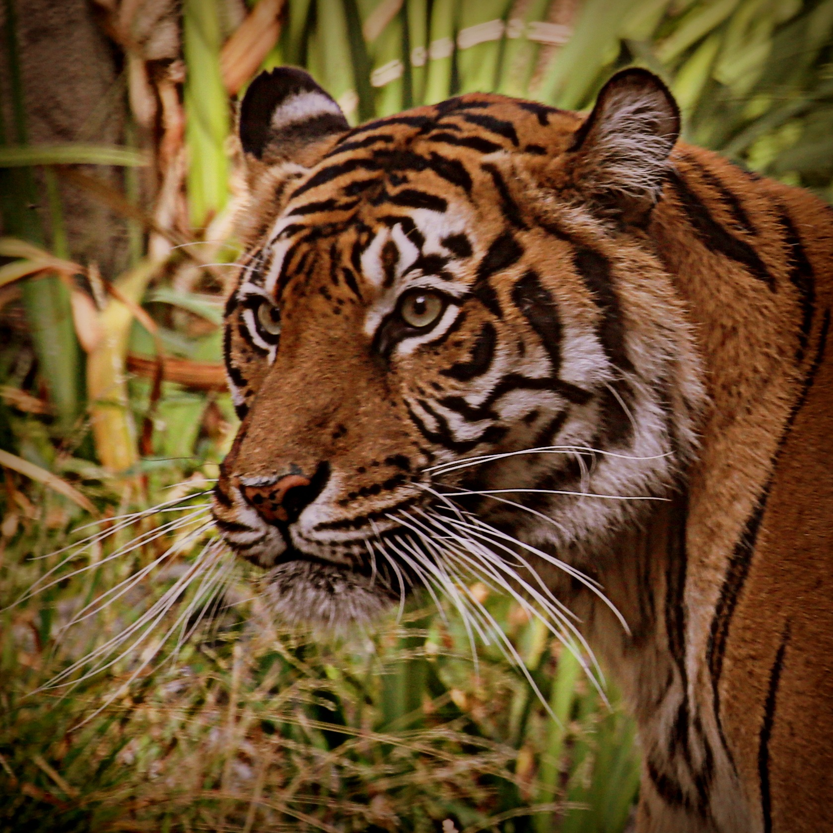 Tiger by Krishna Murukutla