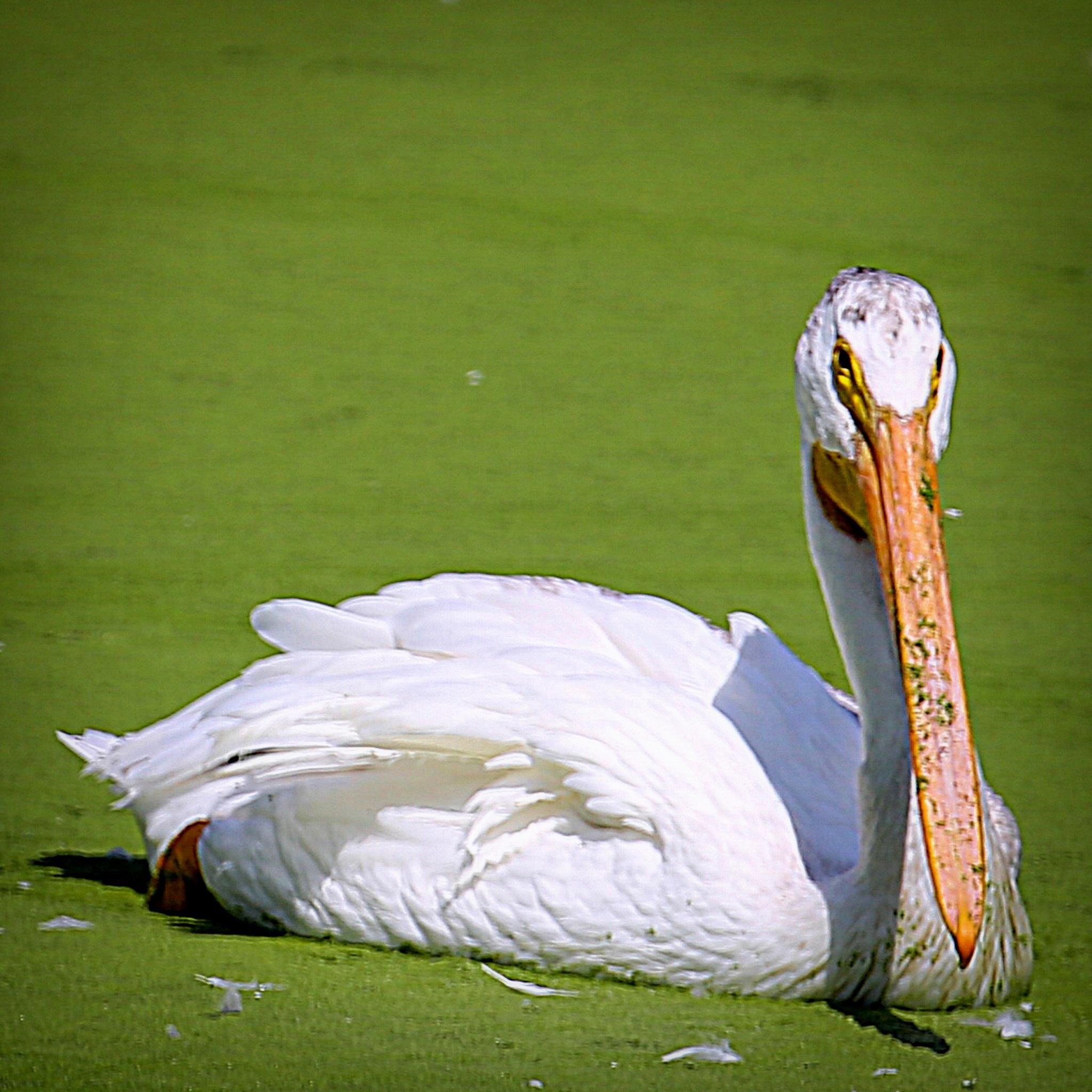 American White Pelican by Krishna Murukutla