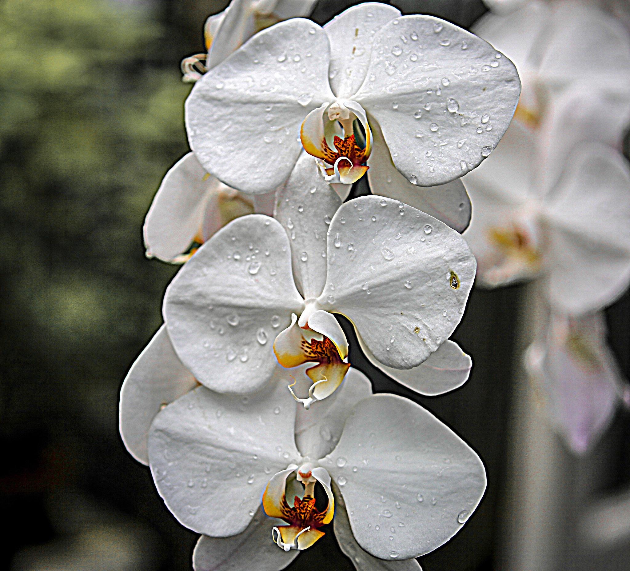 White Moth Orchid  by Krishna Murukutla