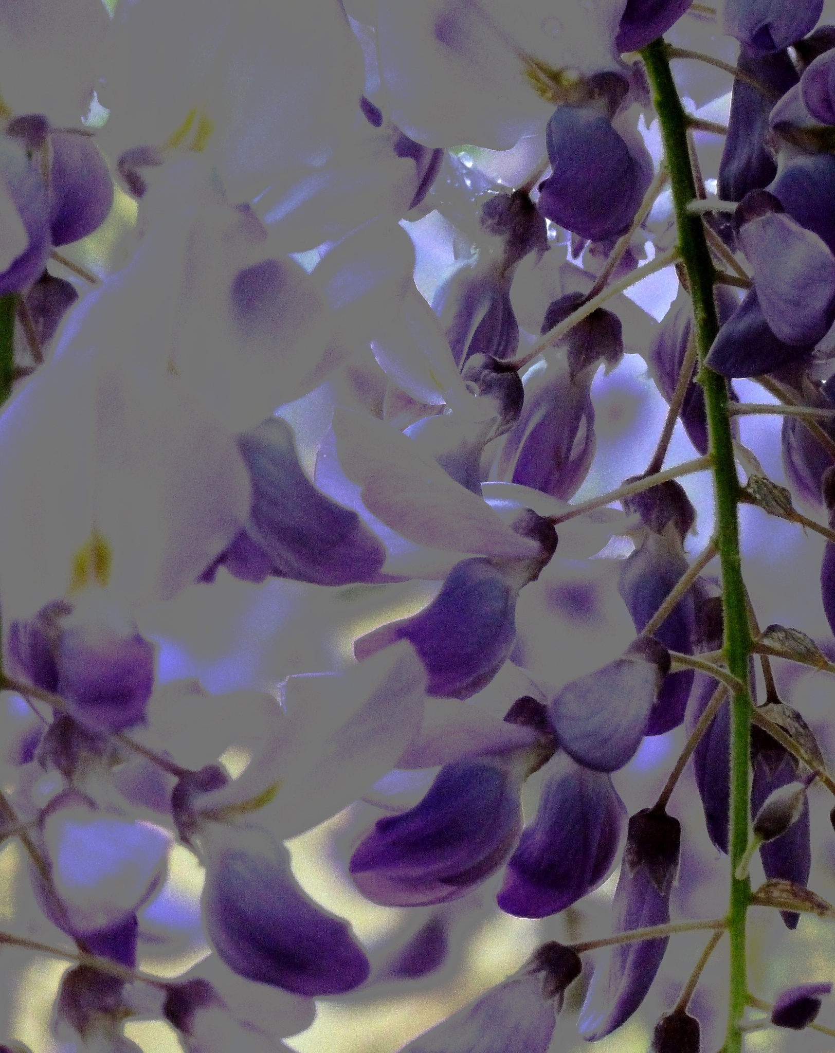 Photo in Random #blossoms #flowers #wisteria
