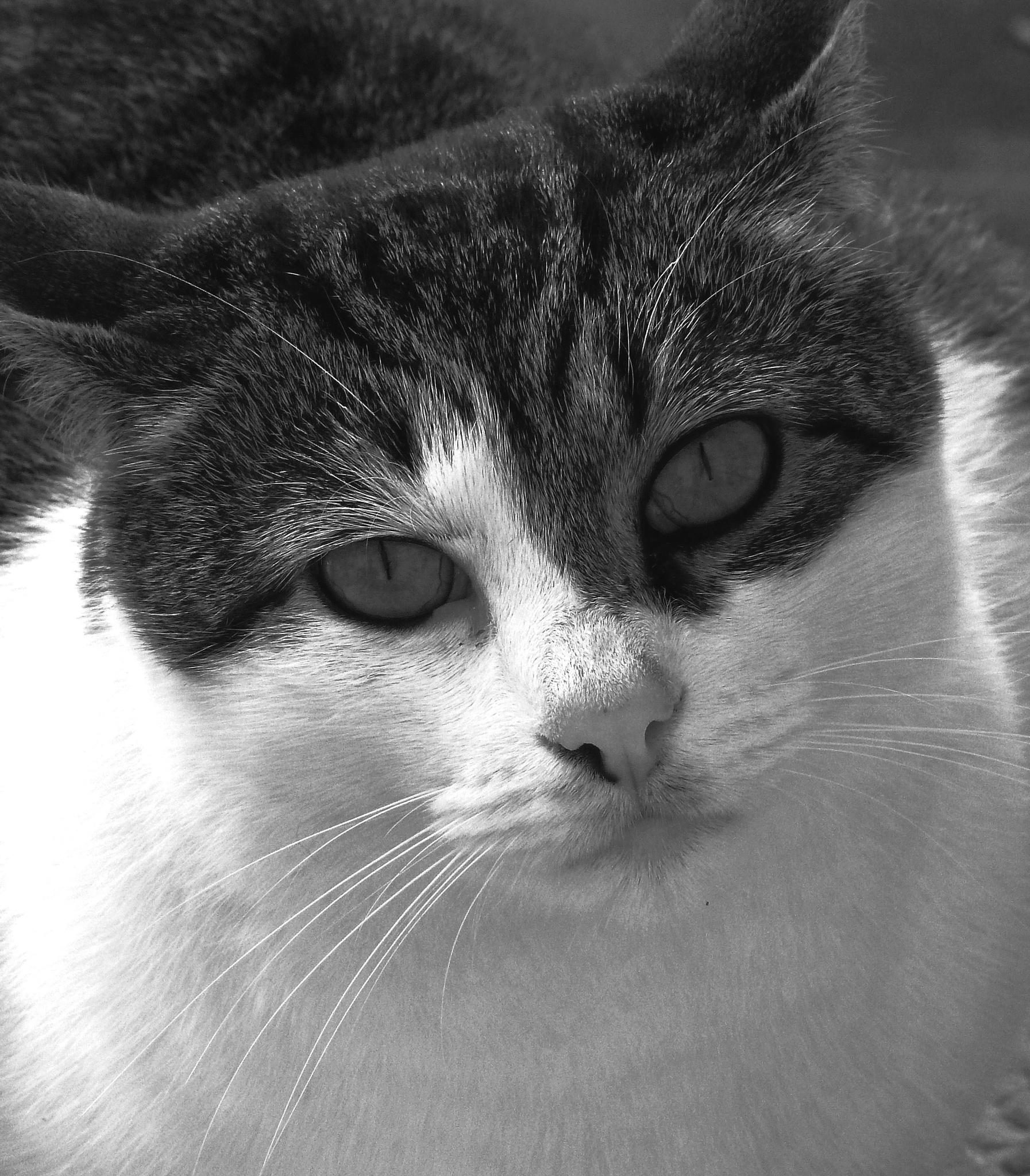Photo in Random #black & white #portrait #cat #animal