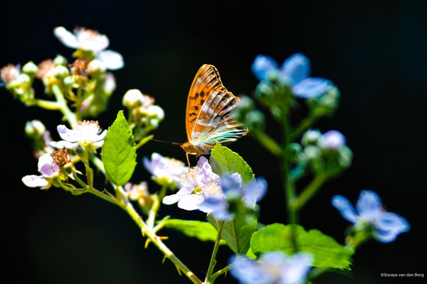 Butterfly by SorayavdB