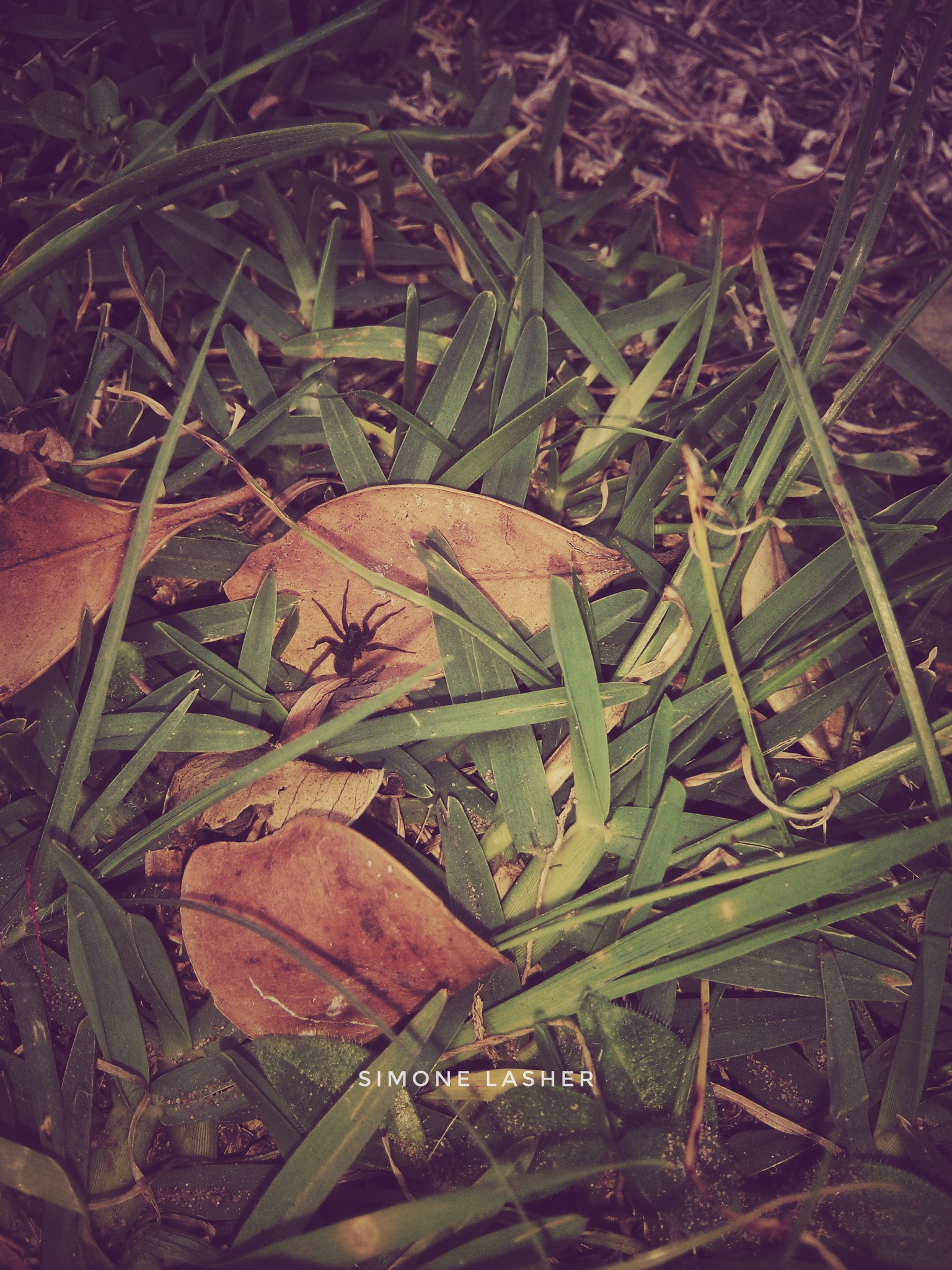 spider in the grass  by Simone Lasher