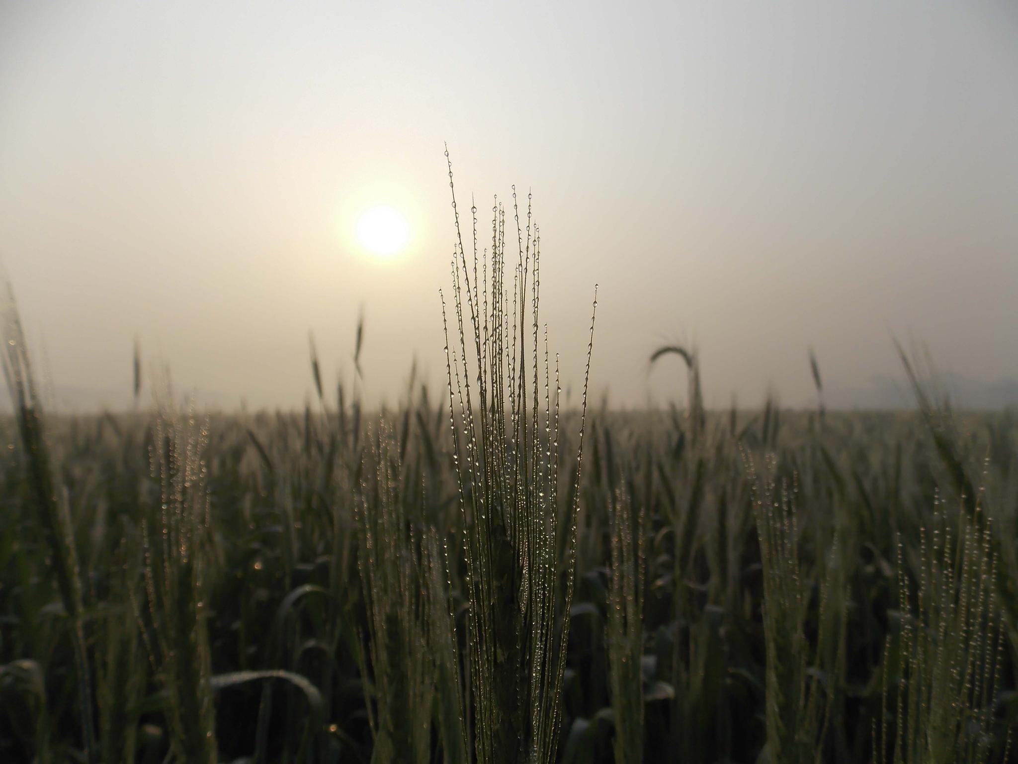 Foggy Morning In Crops Field by M Azharul Islam