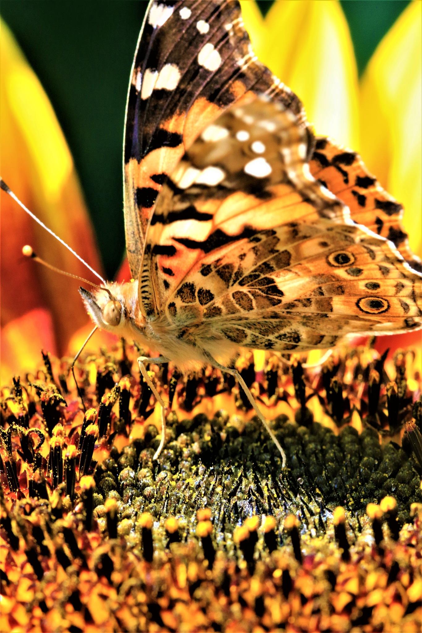Butterfly on sunflower by Miloliidrifter