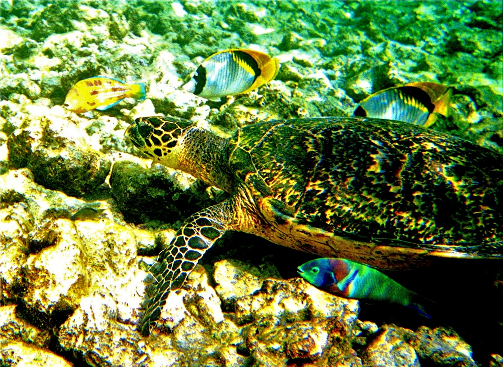 Hawk bill turtle, X-mas wrasse and parrot wrasse by Miloliidrifter