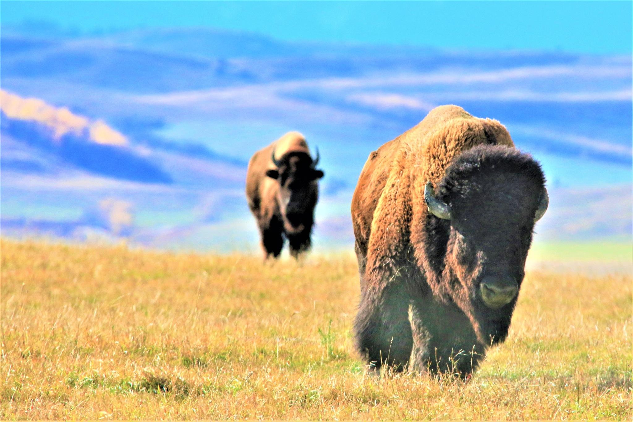 Wild rocky mountain buffalo Alberta by Miloliidrifter