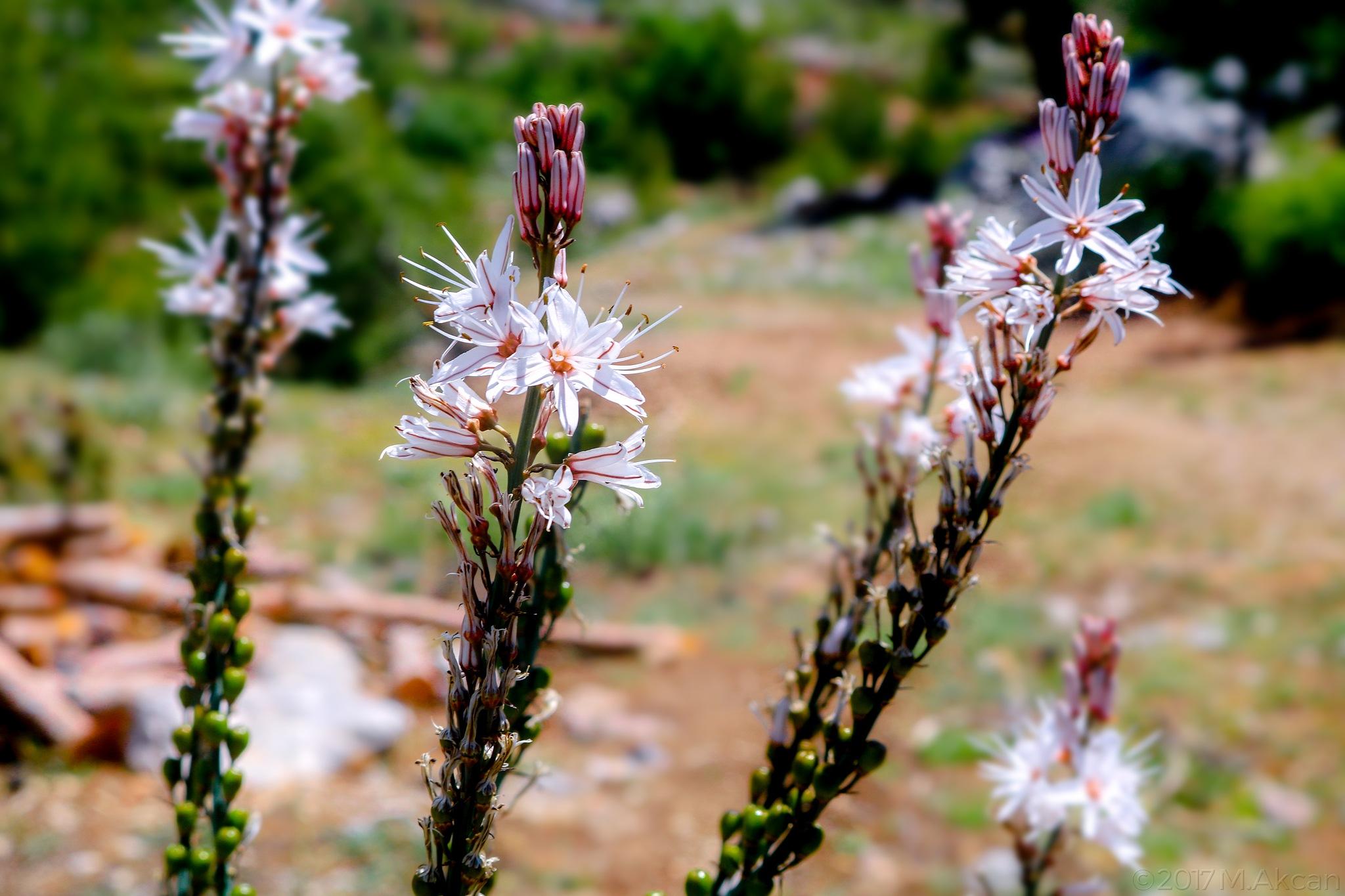 Flowers by Mesut Akcan