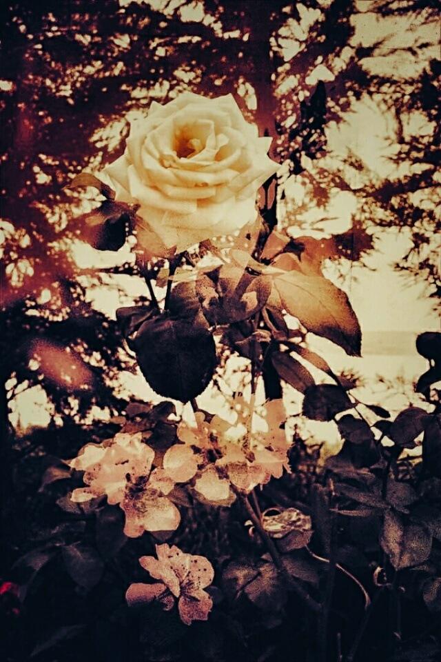 Yellow Rose by AyseA