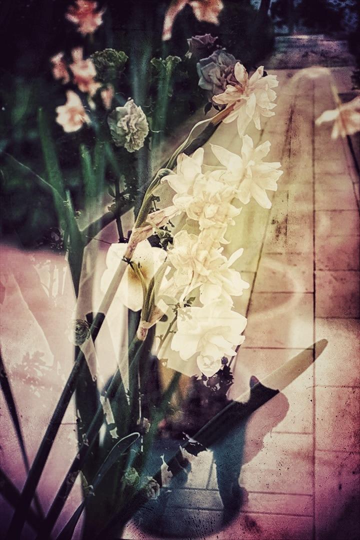 Daffodils  by AyseA