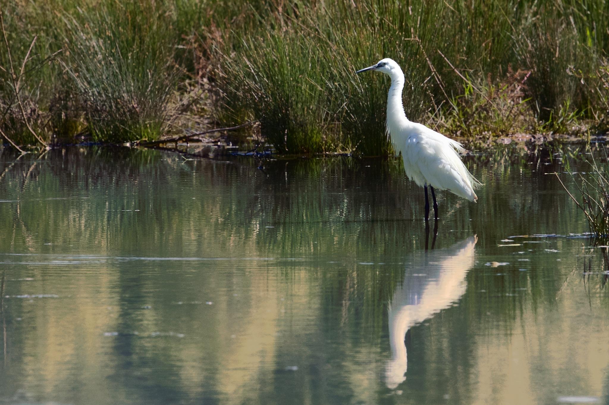 Egretta Garzetta - Little Egret by MarkSoetebierVideophotography