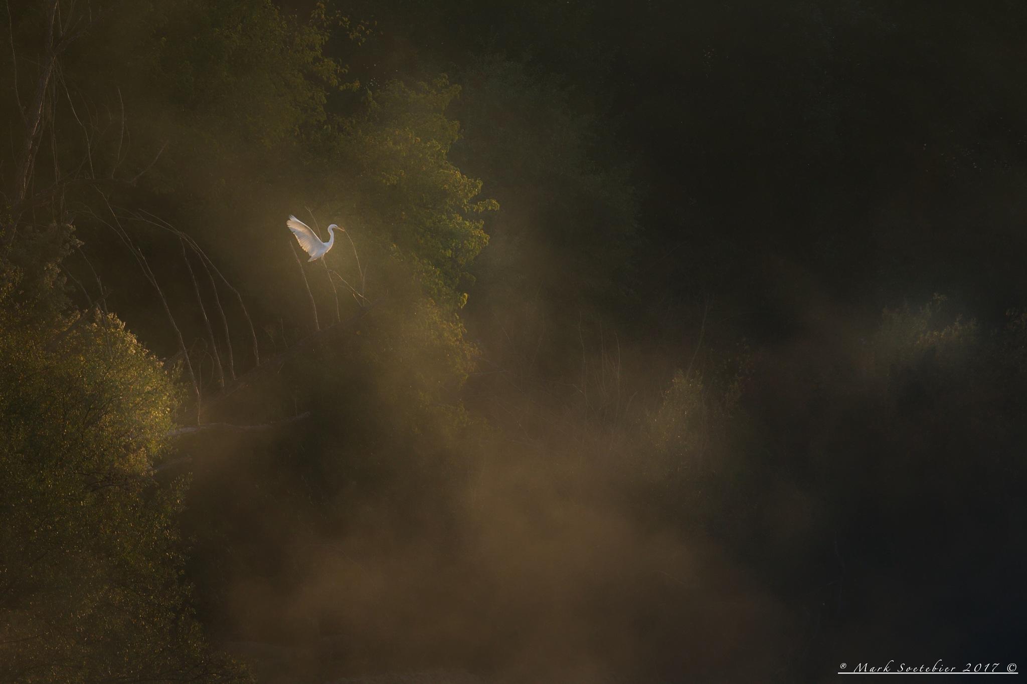 Great White Heron in the Mist by MarkSoetebierVideophotography