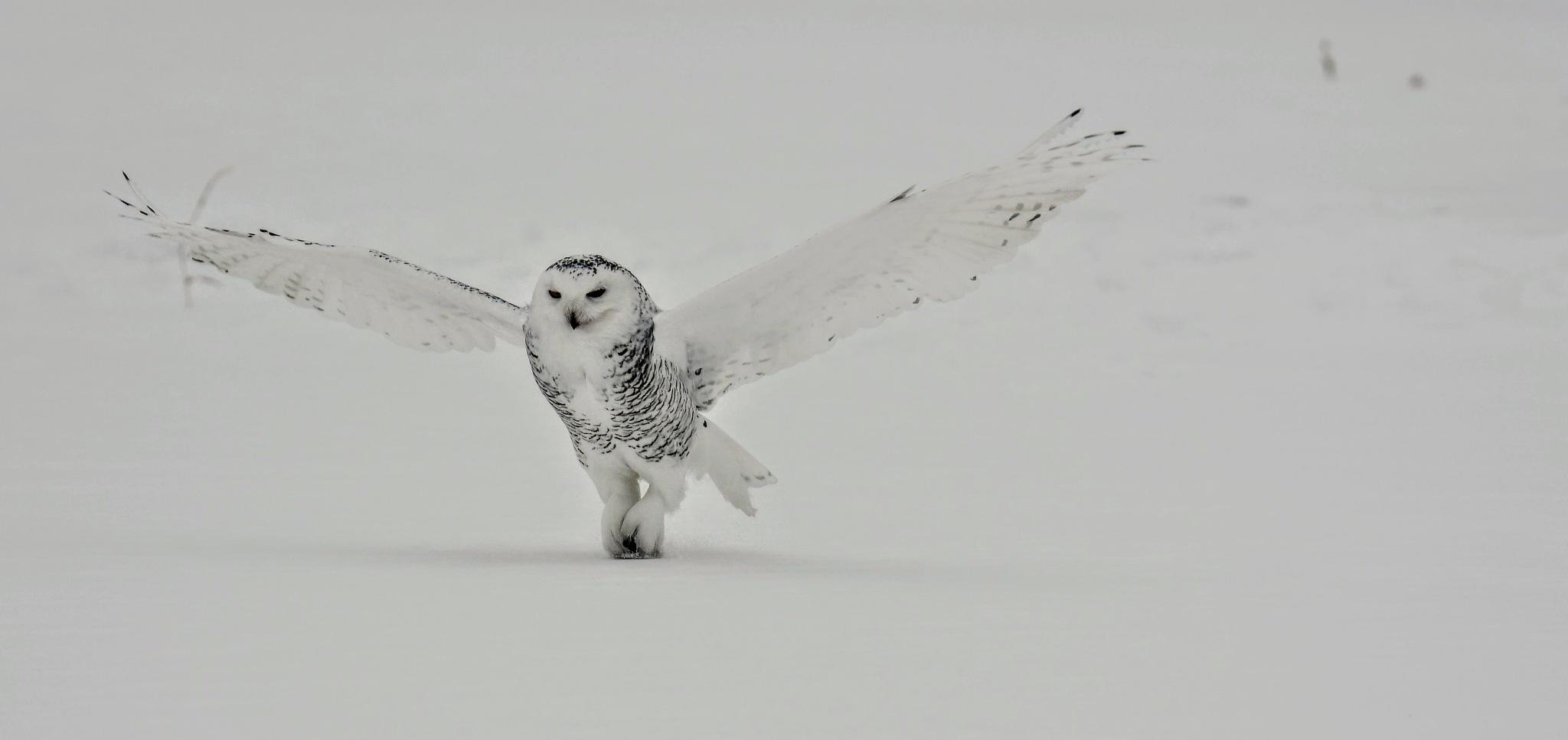 Female Snowy Owl by Simon Dadouche
