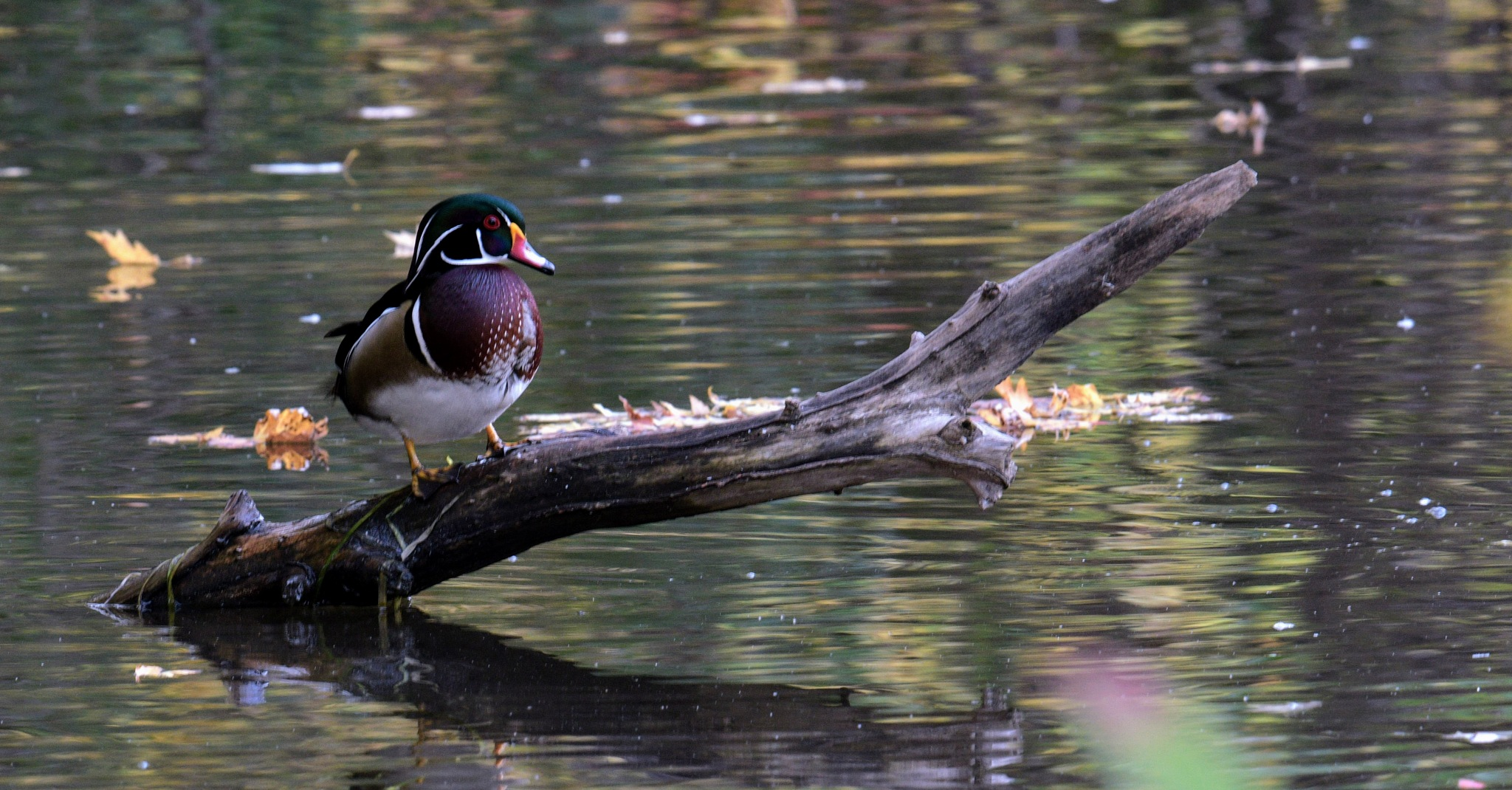 Male Wood Duck by Simon Dadouche