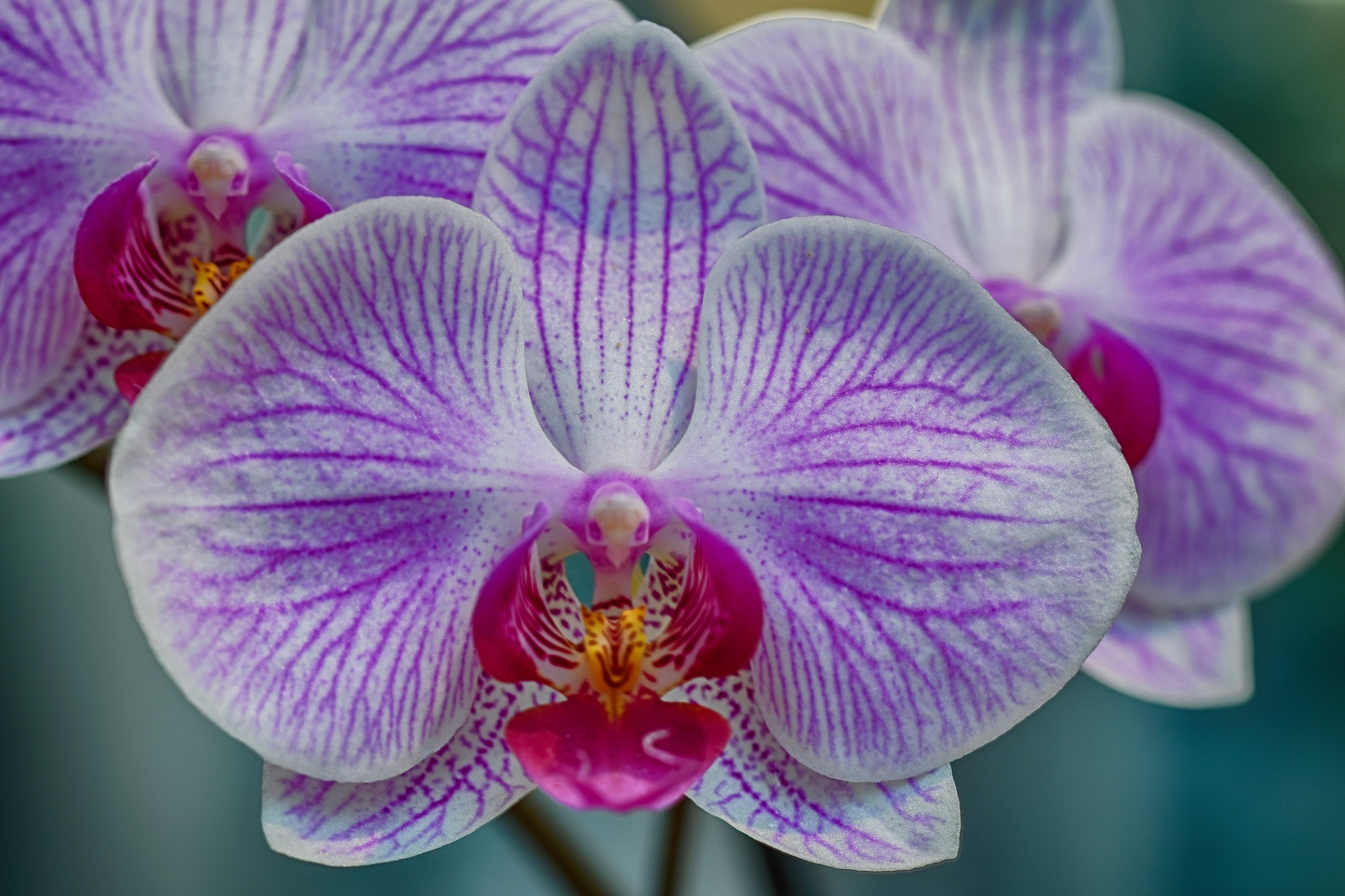 Orchid by Simon Dadouche