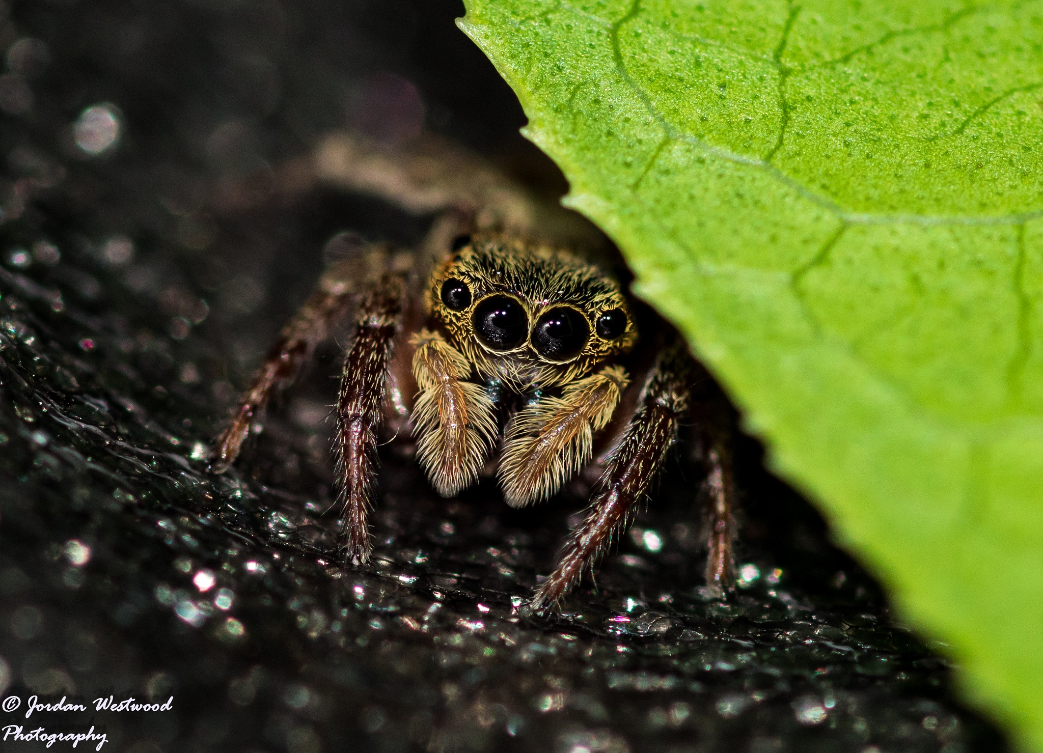 Jumping Spider by Jordan Westwood